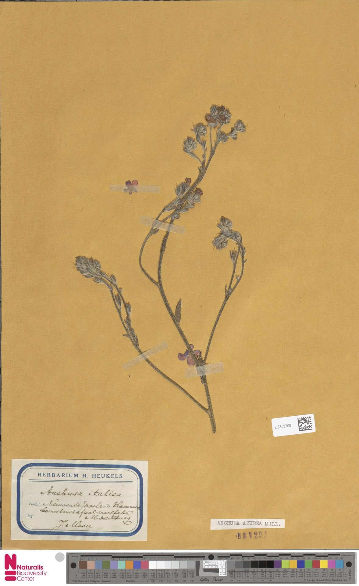 L.3353708 | Anchusa azurea Mill.