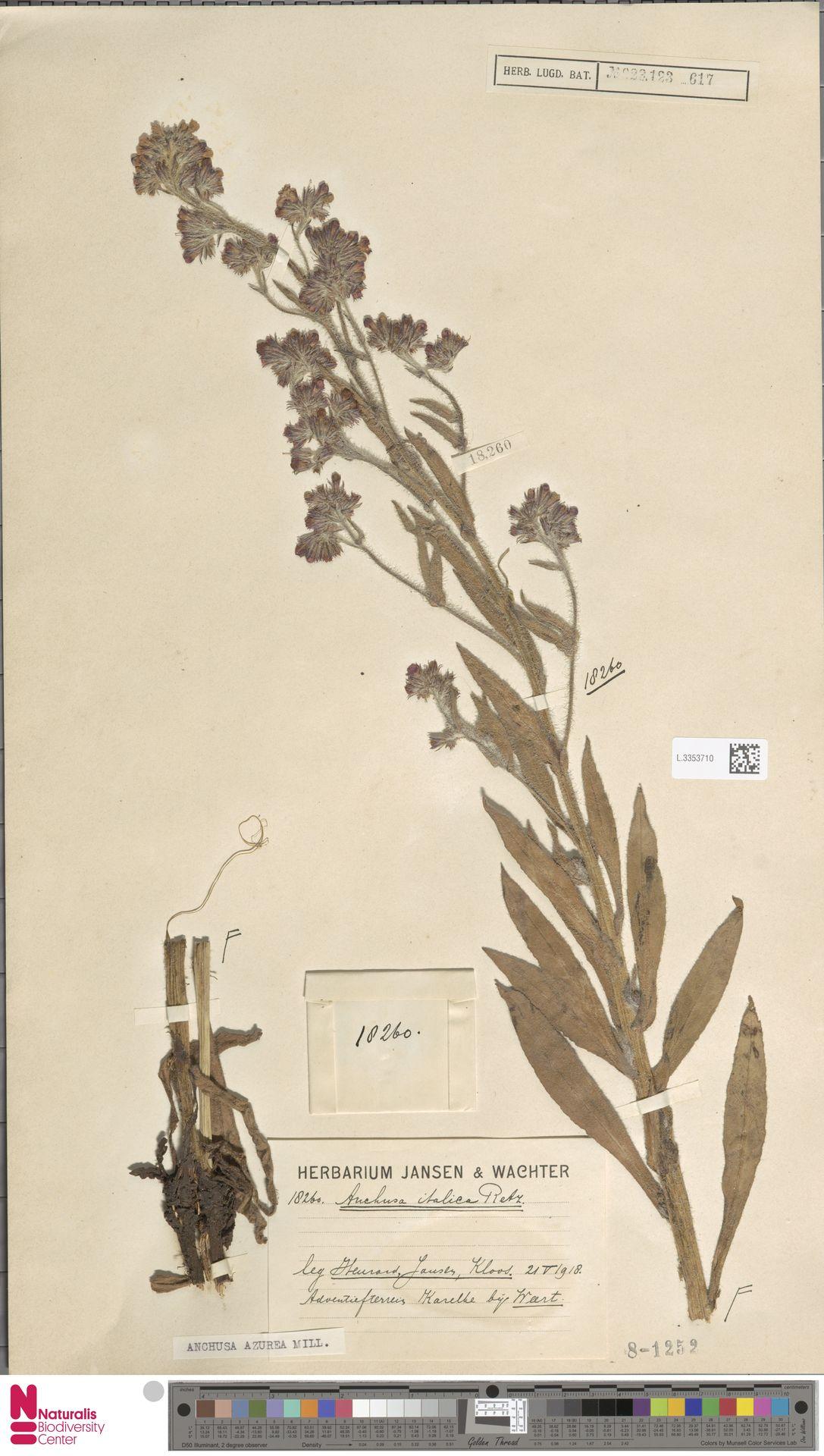 L.3353710 | Anchusa azurea Mill.
