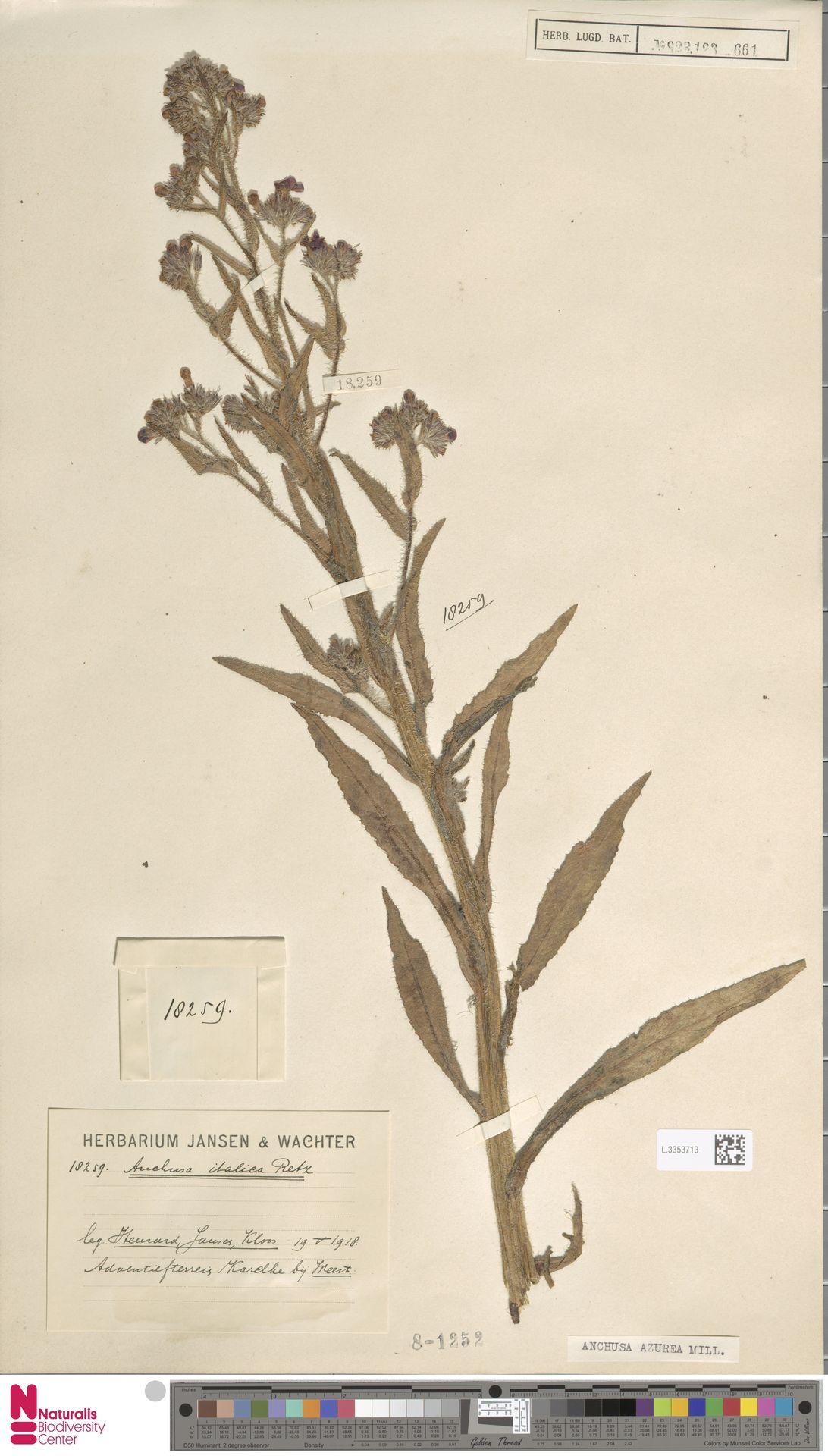 L.3353713 | Anchusa azurea Mill.