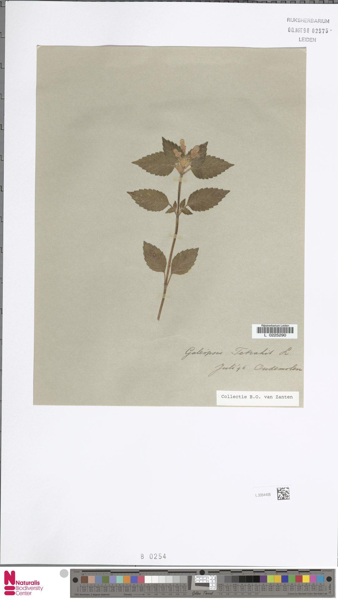 L.3354408   Galeopsis tetrahit L.