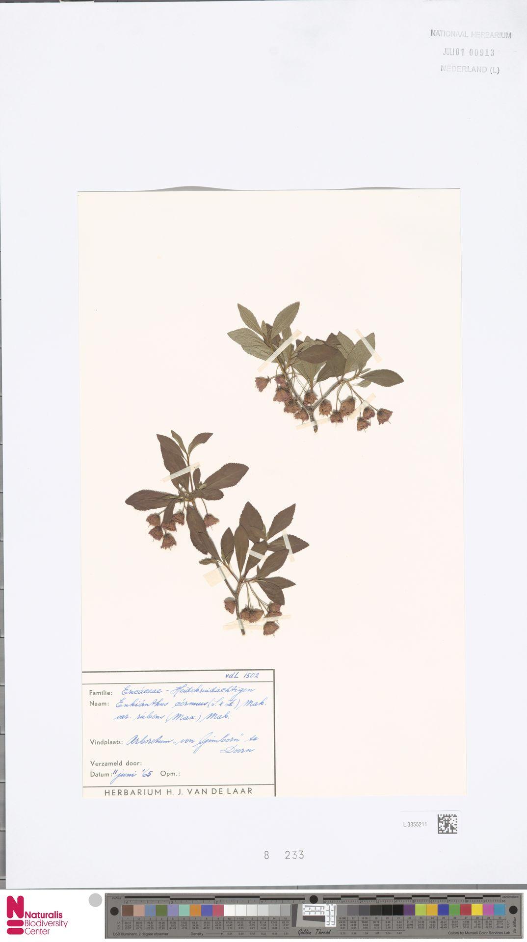 L.3355211 | Enkianthus cernuus (Siebold & Zucc.) Makino