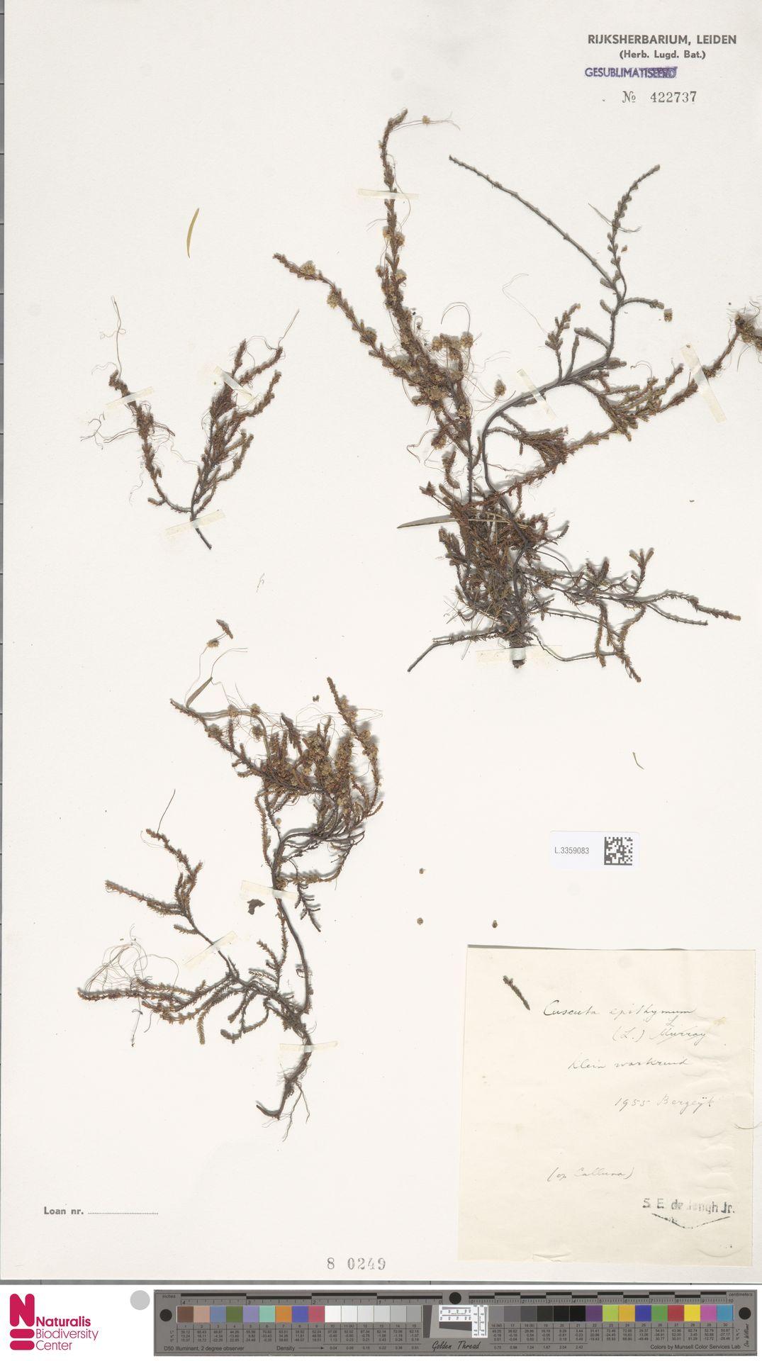 L.3359083 | Cuscuta epithymum (L.) L.