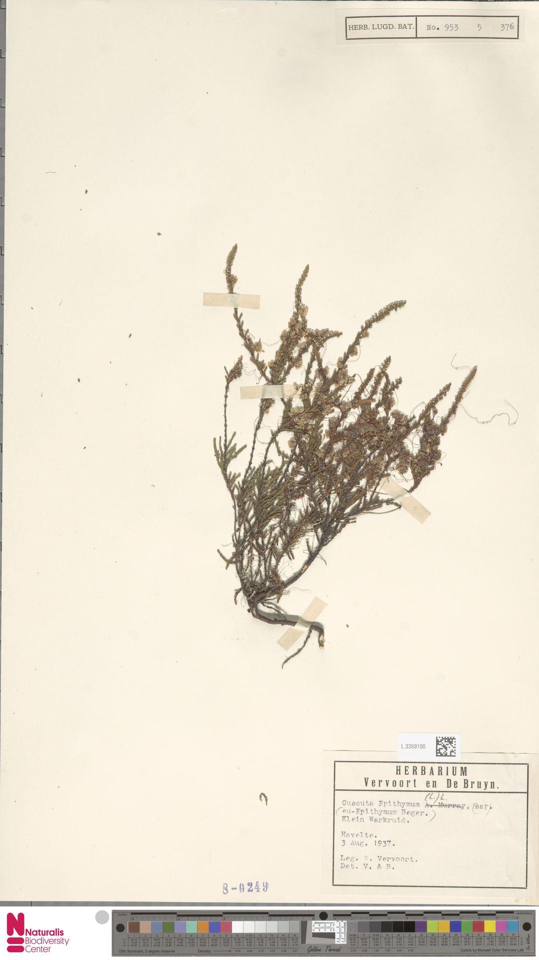 L.3359100 | Cuscuta epithymum (L.) L.