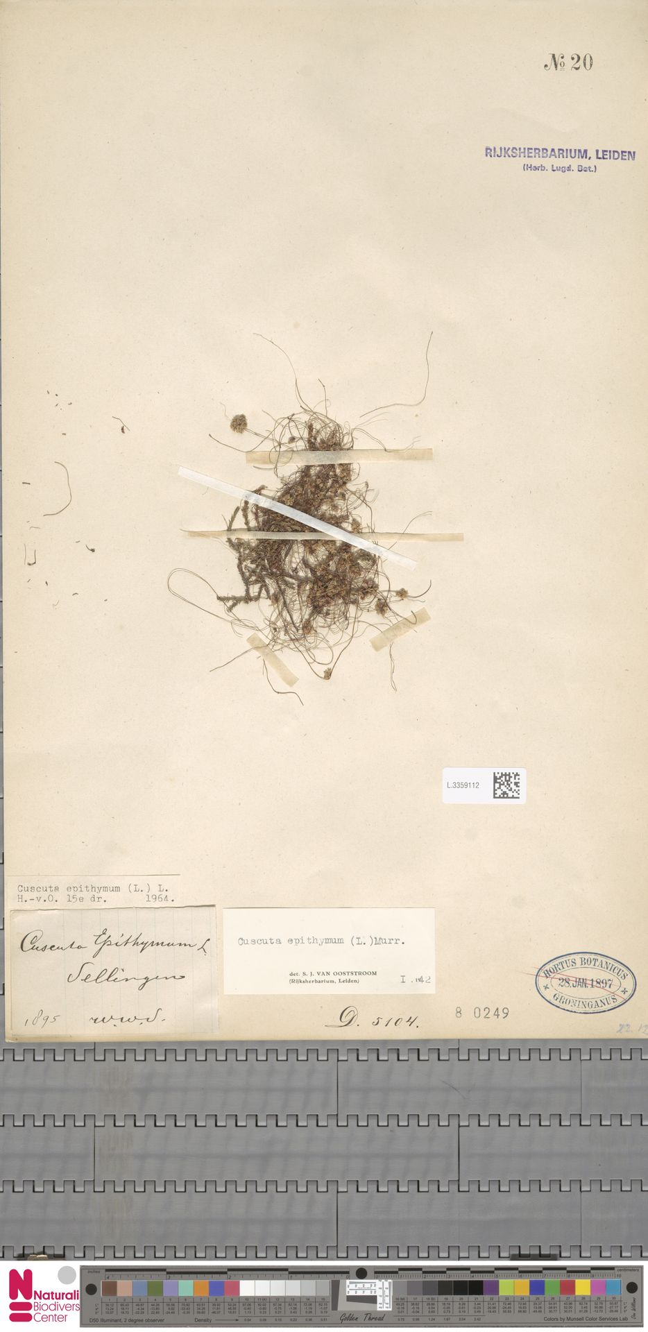 L.3359112 | Cuscuta epithymum (L.) L.