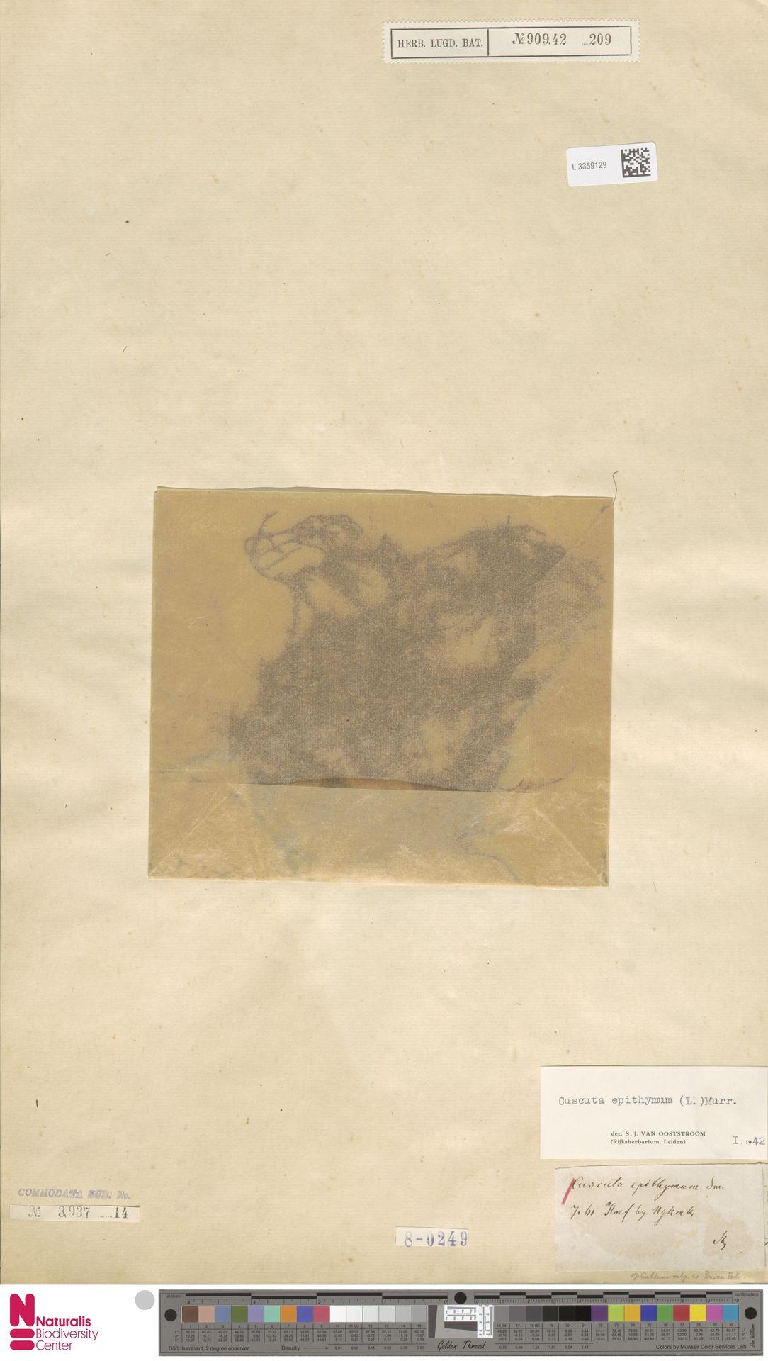 L.3359129   Cuscuta epithymum (L.) L.