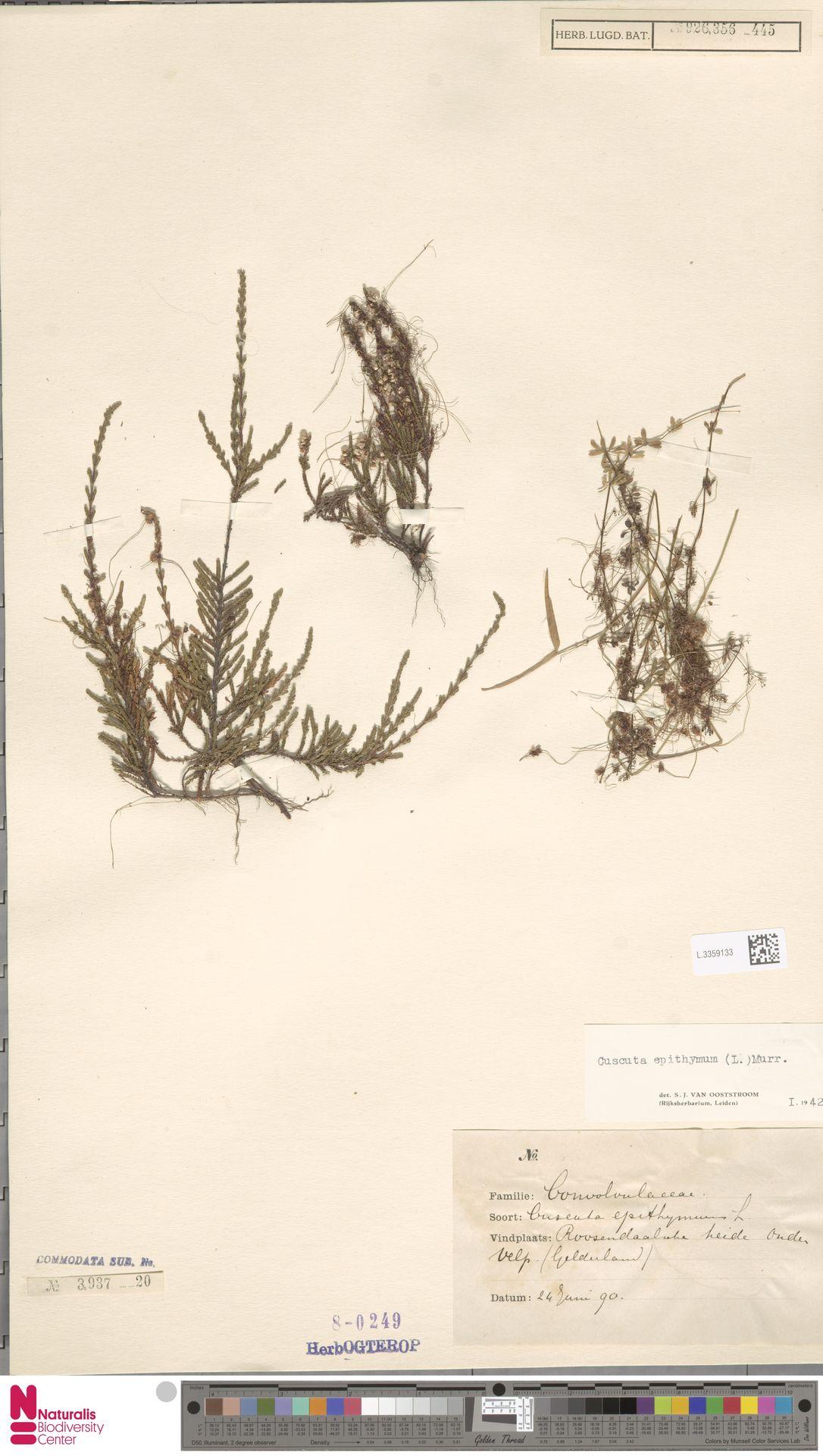 L.3359133 | Cuscuta epithymum (L.) L.