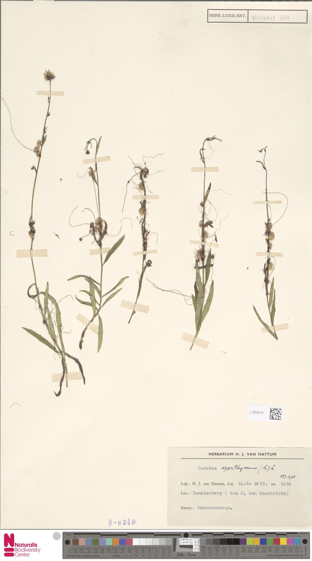 L.3359147 | Cuscuta epithymum (L.) L.