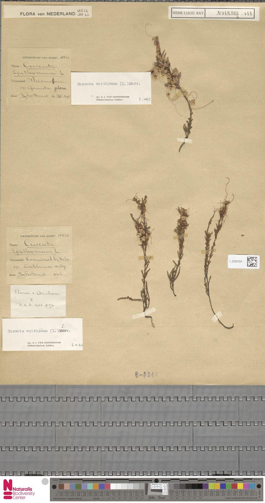 L.3359154 | Cuscuta epithymum (L.) L.