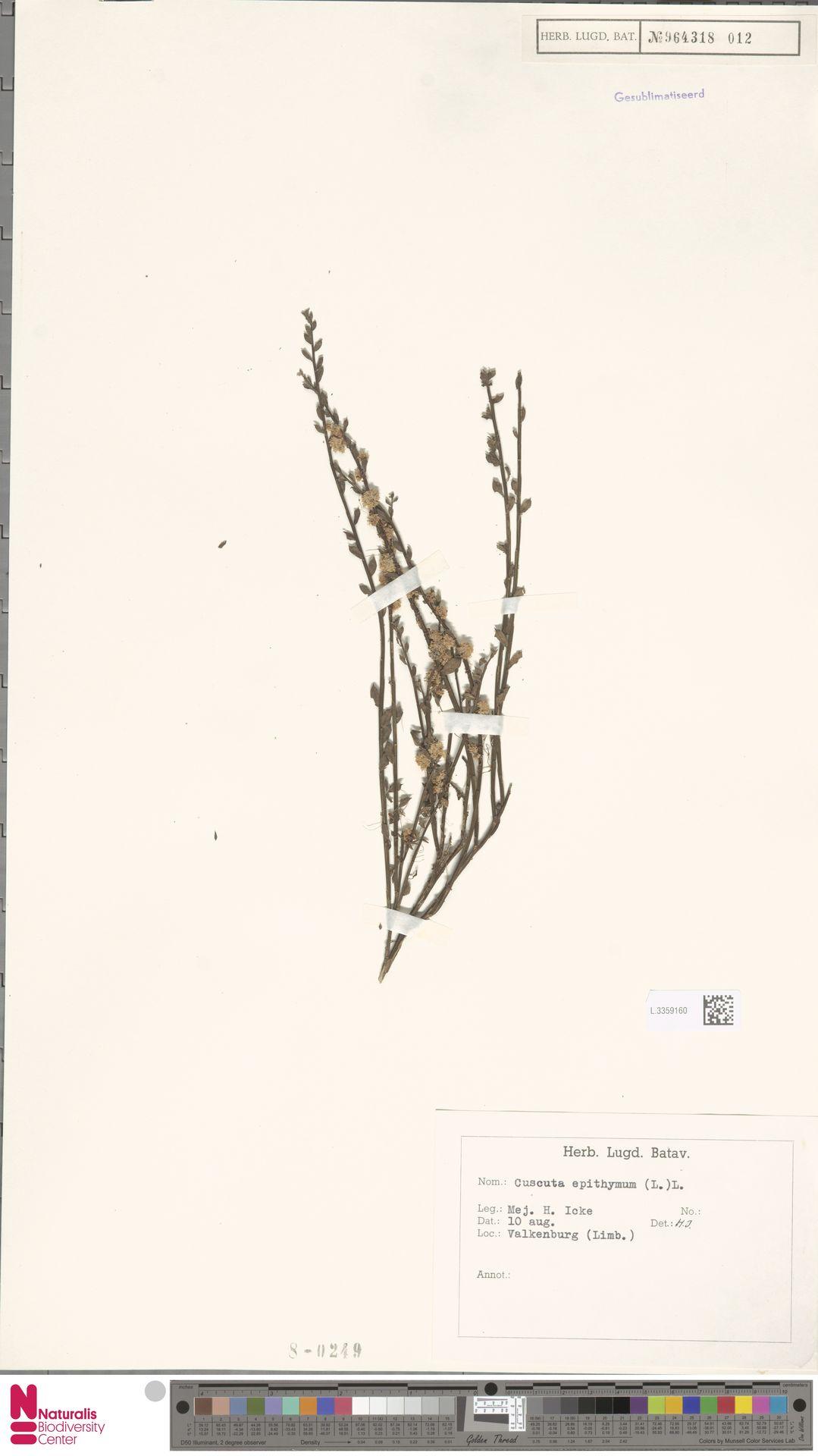 L.3359160   Cuscuta epithymum (L.) L.