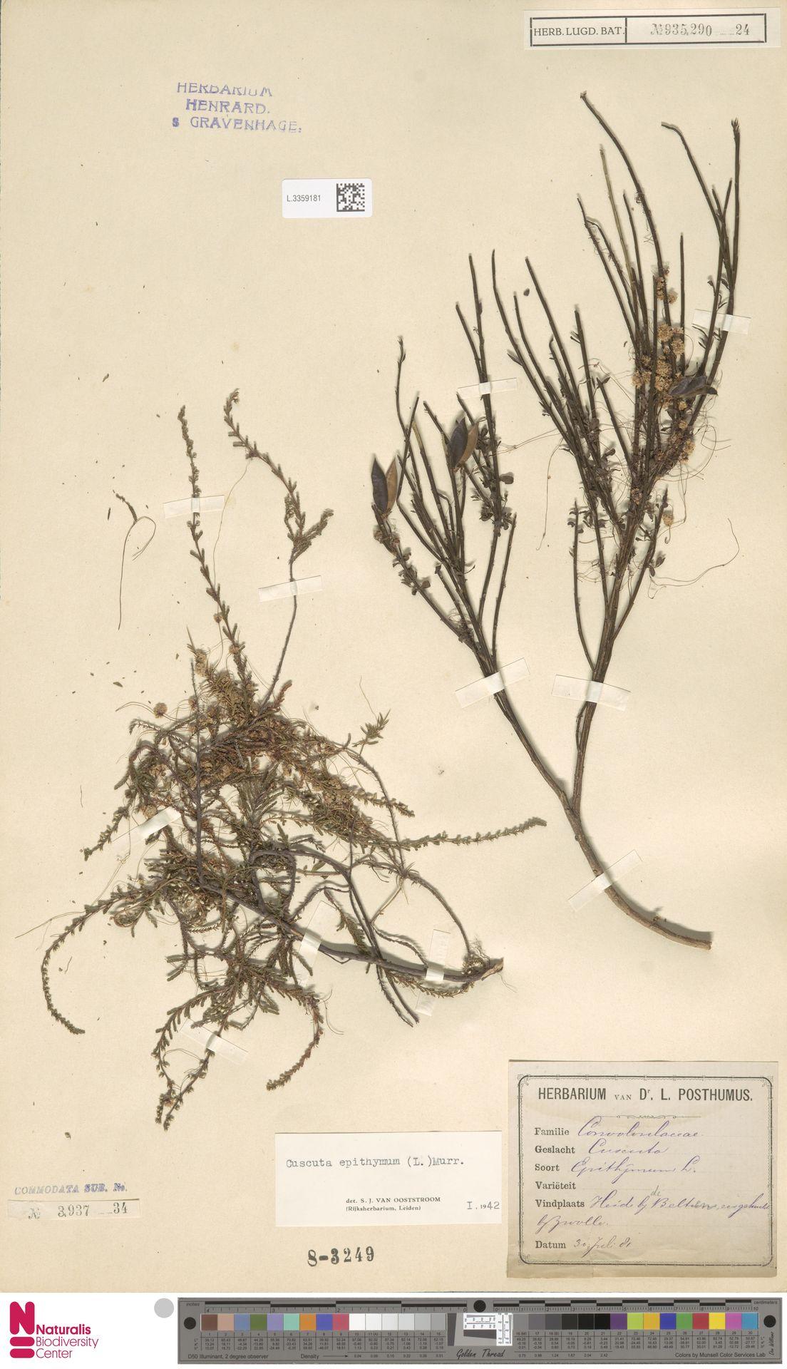 L.3359181   Cuscuta epithymum (L.) L.