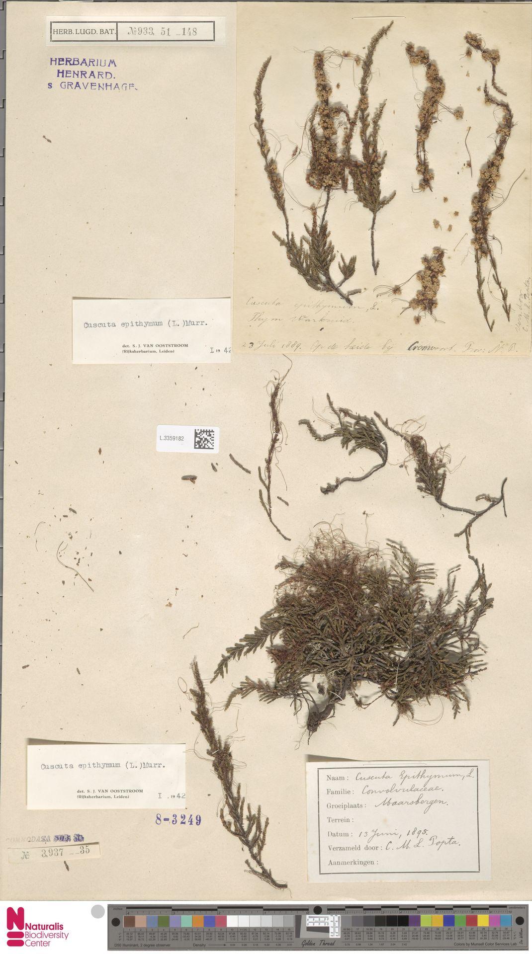 L.3359182 | Cuscuta epithymum (L.) L.