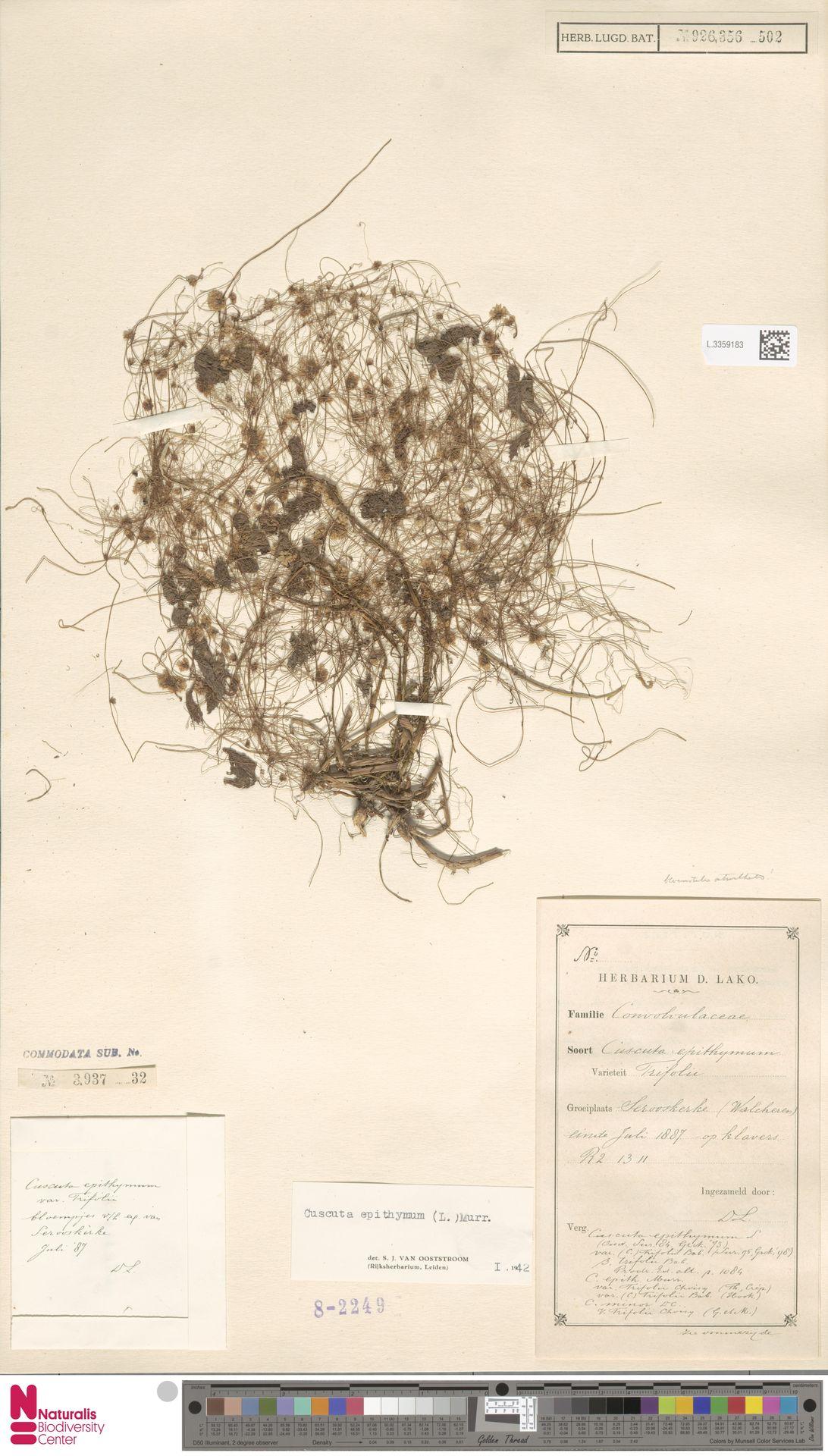 L.3359183   Cuscuta epithymum (L.) L.