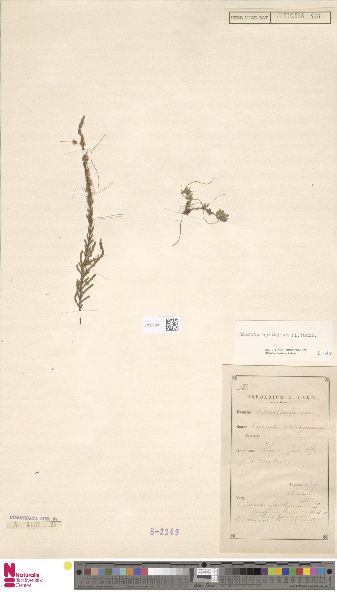 L.3359188 | Cuscuta epithymum (L.) L.