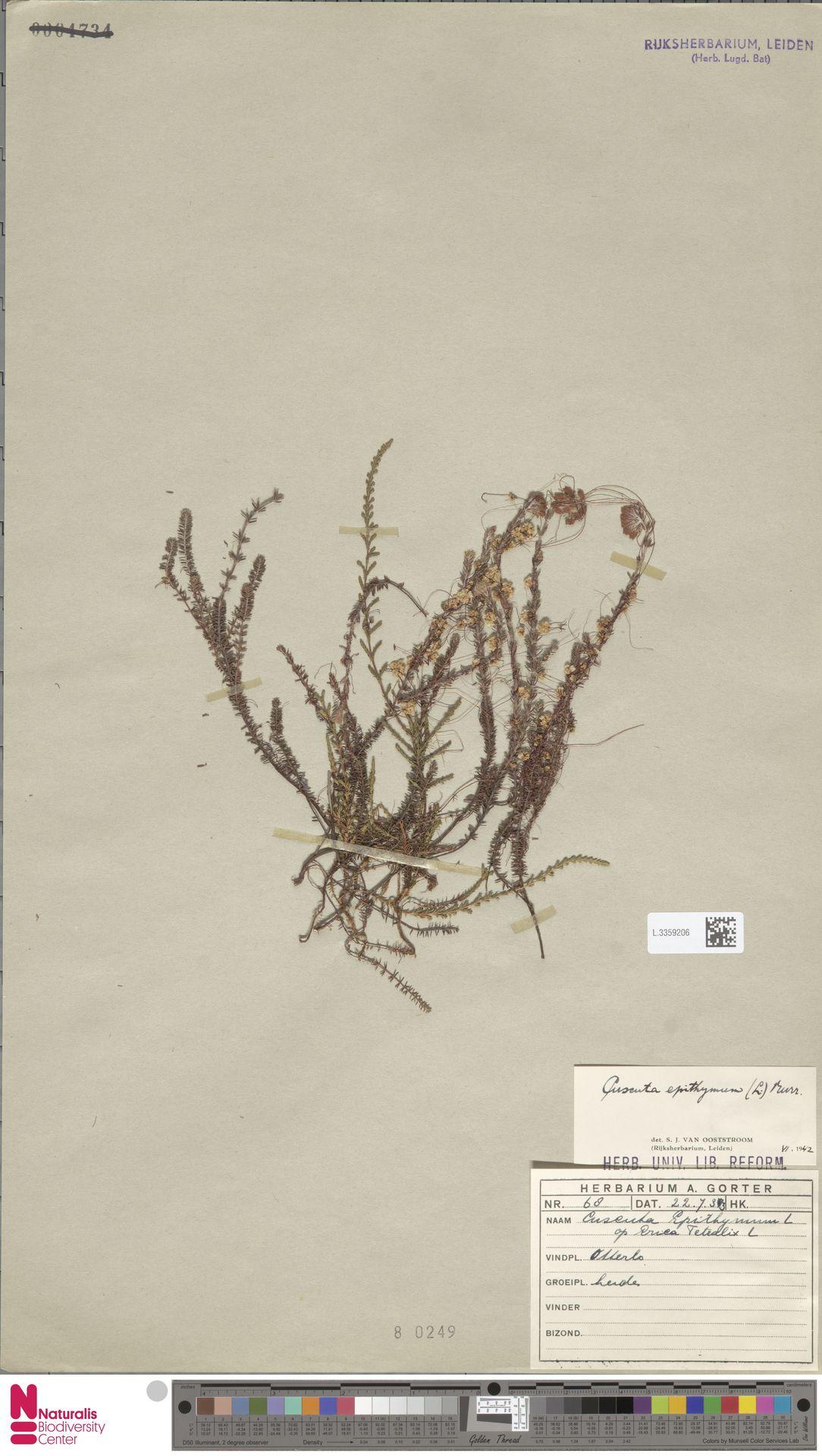 L.3359206 | Cuscuta epithymum (L.) L.