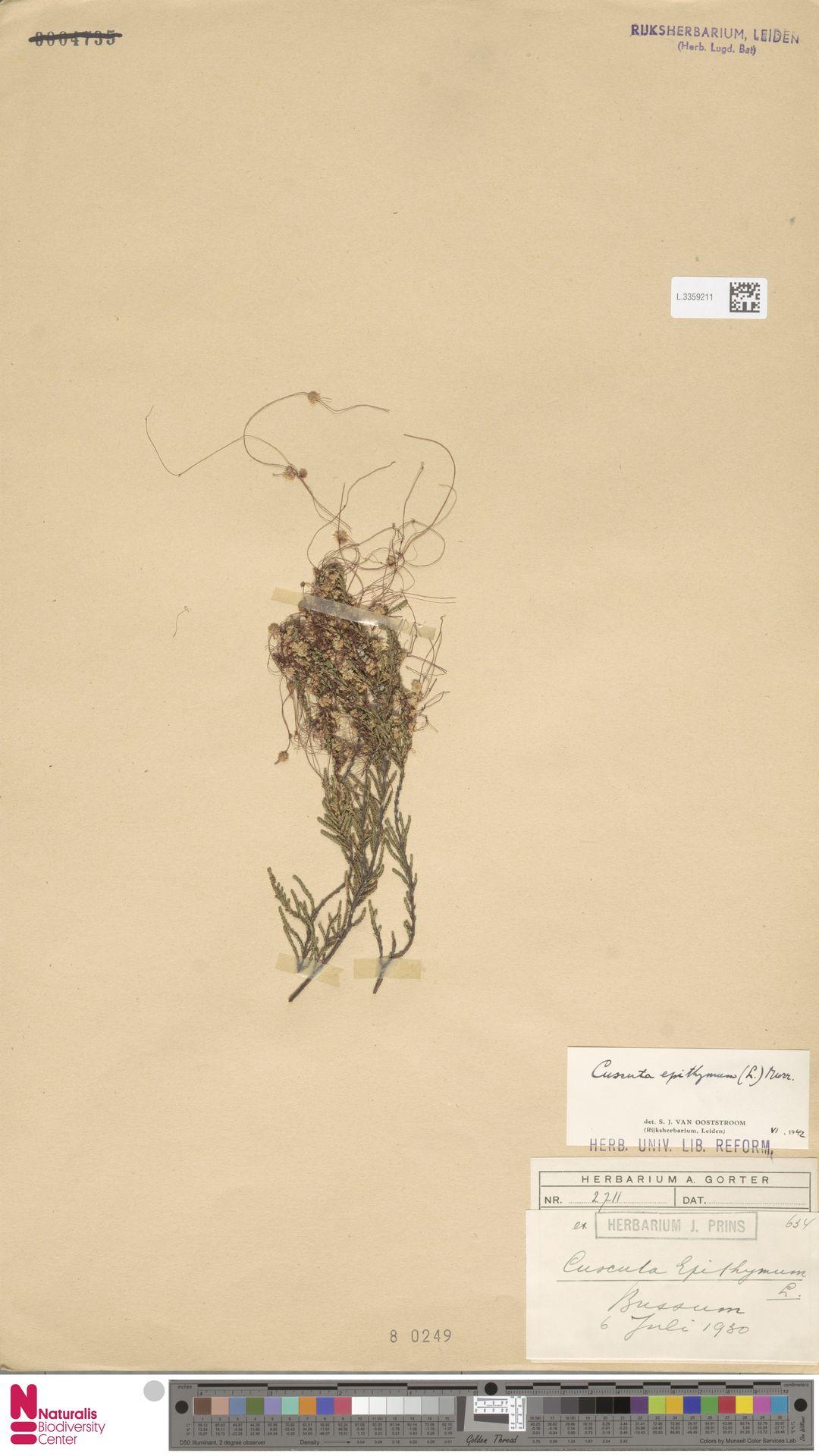 L.3359211   Cuscuta epithymum (L.) L.