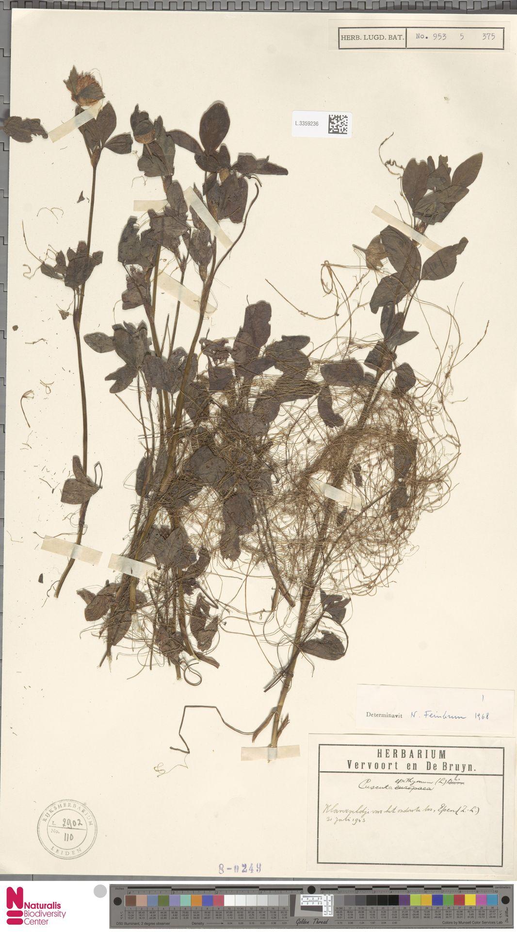 L.3359236 | Cuscuta epithymum (L.) L.