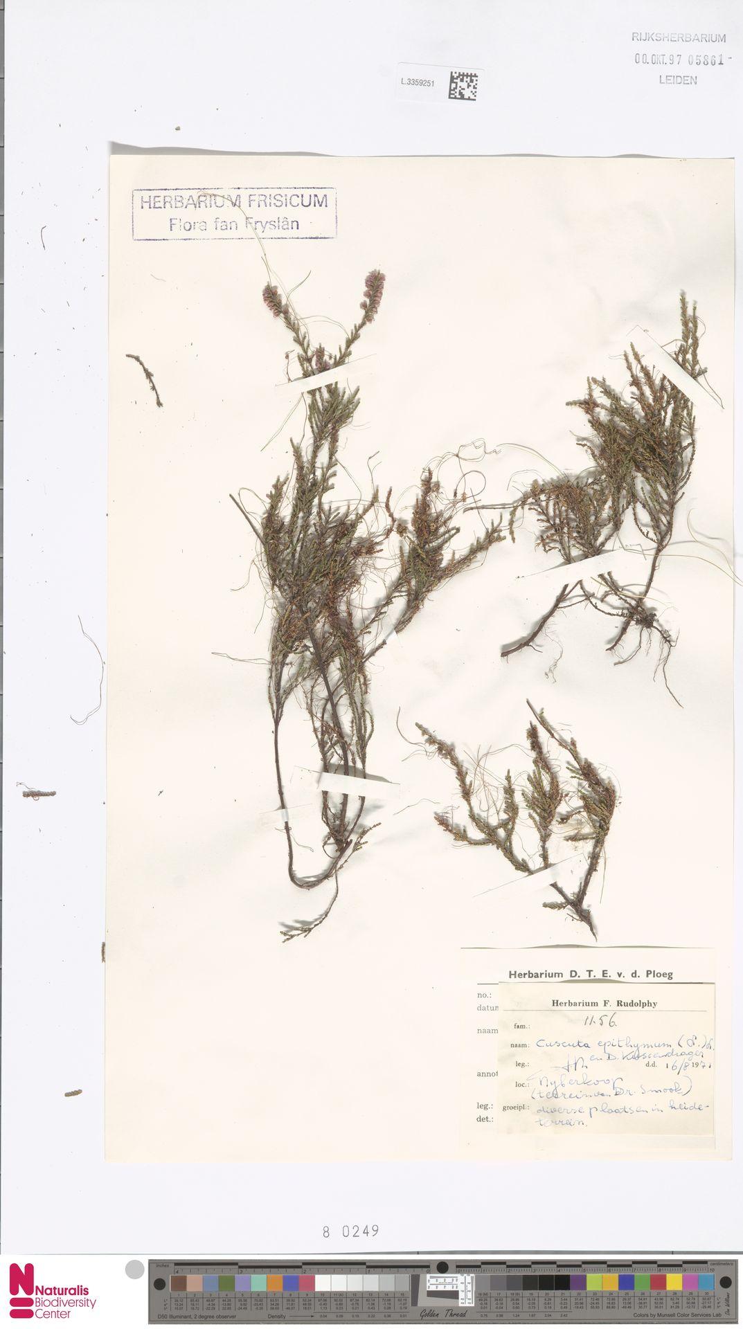 L.3359251 | Cuscuta epithymum (L.) L.