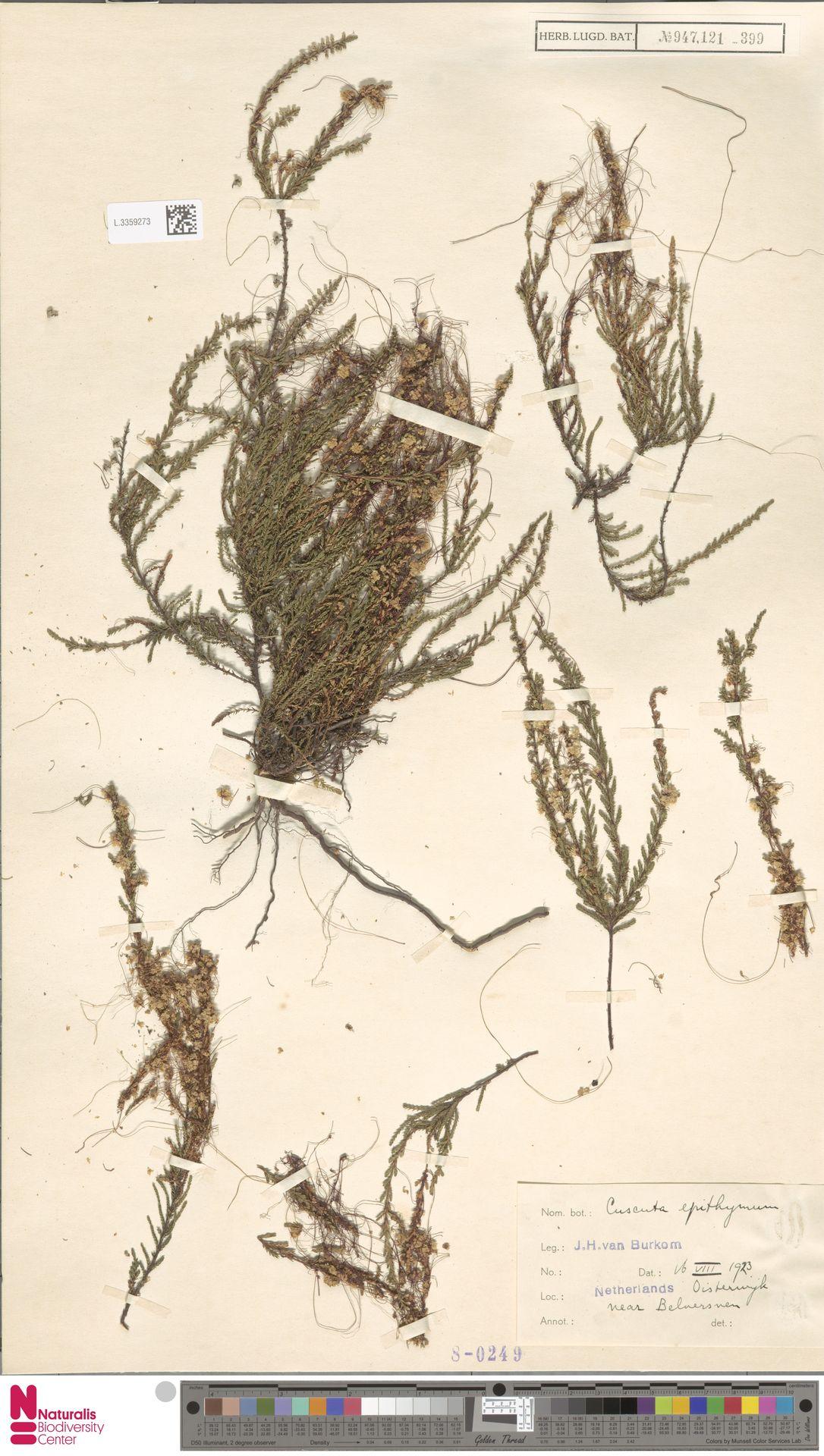 L.3359273   Cuscuta epithymum (L.) L.