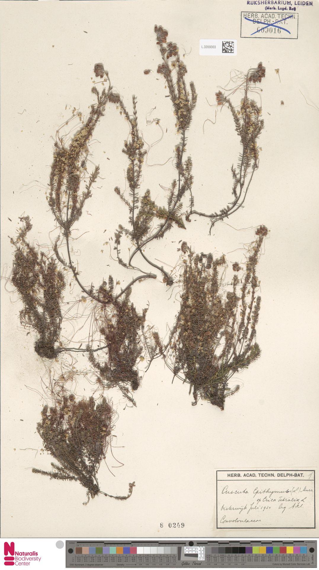 L.3359303   Cuscuta epithymum (L.) L.