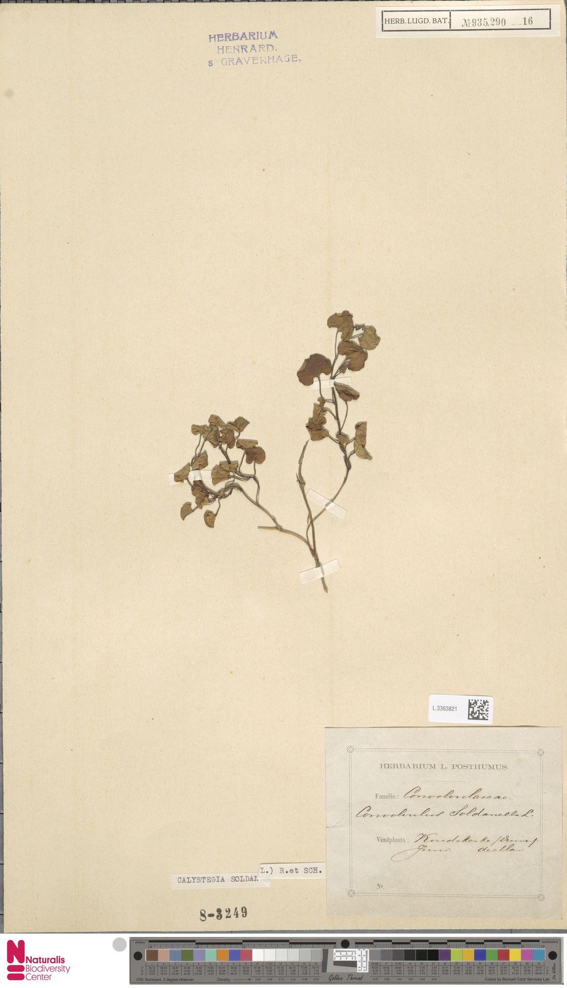 L.3363821   Calystegia soldanella (L.) R.Br.