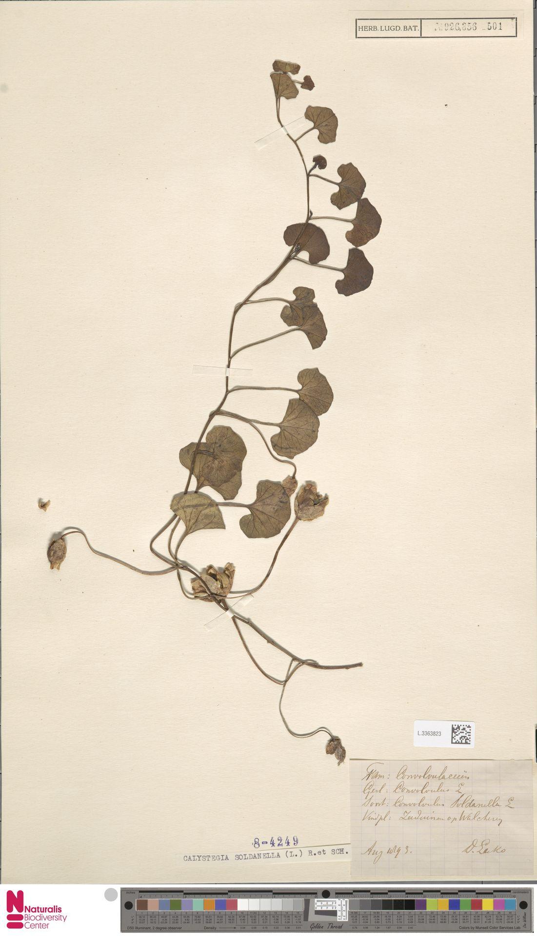 L.3363823 | Calystegia soldanella (L.) R.Br.