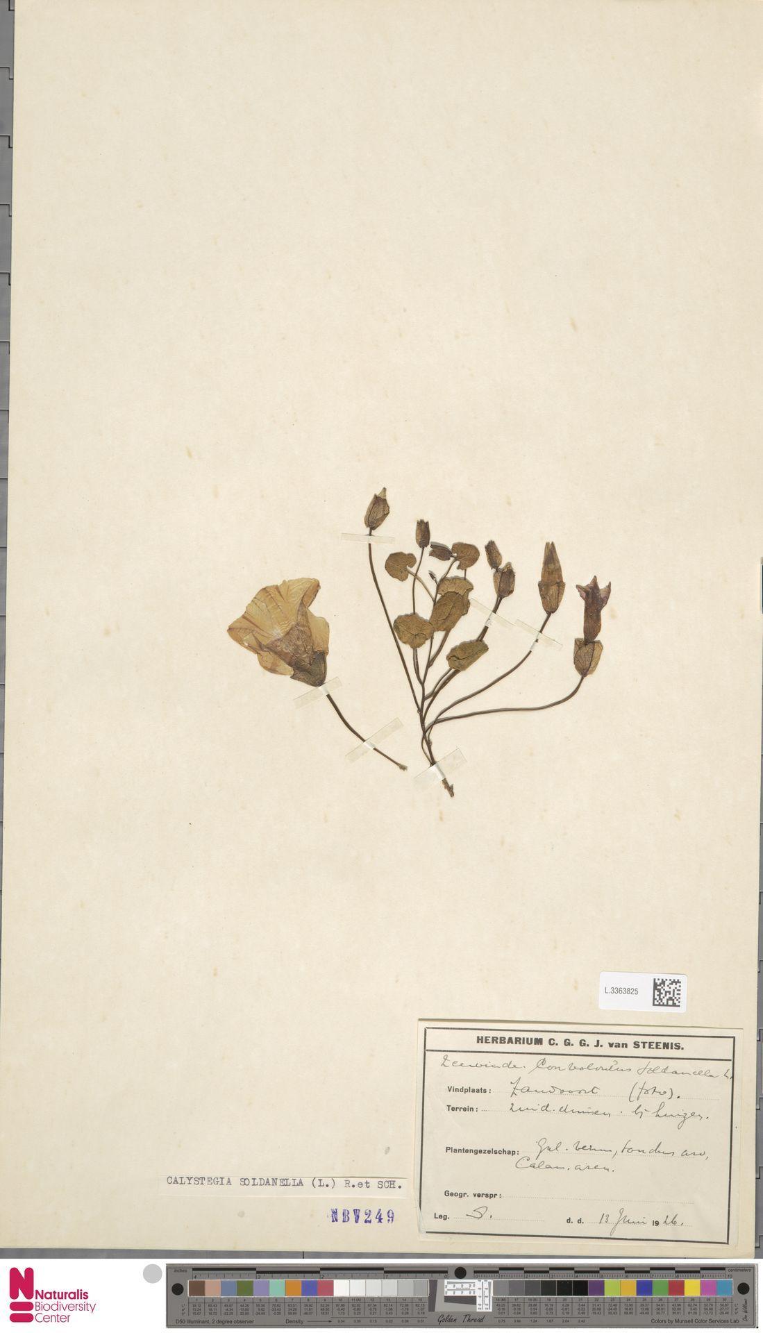 L.3363825 | Calystegia soldanella (L.) R.Br.