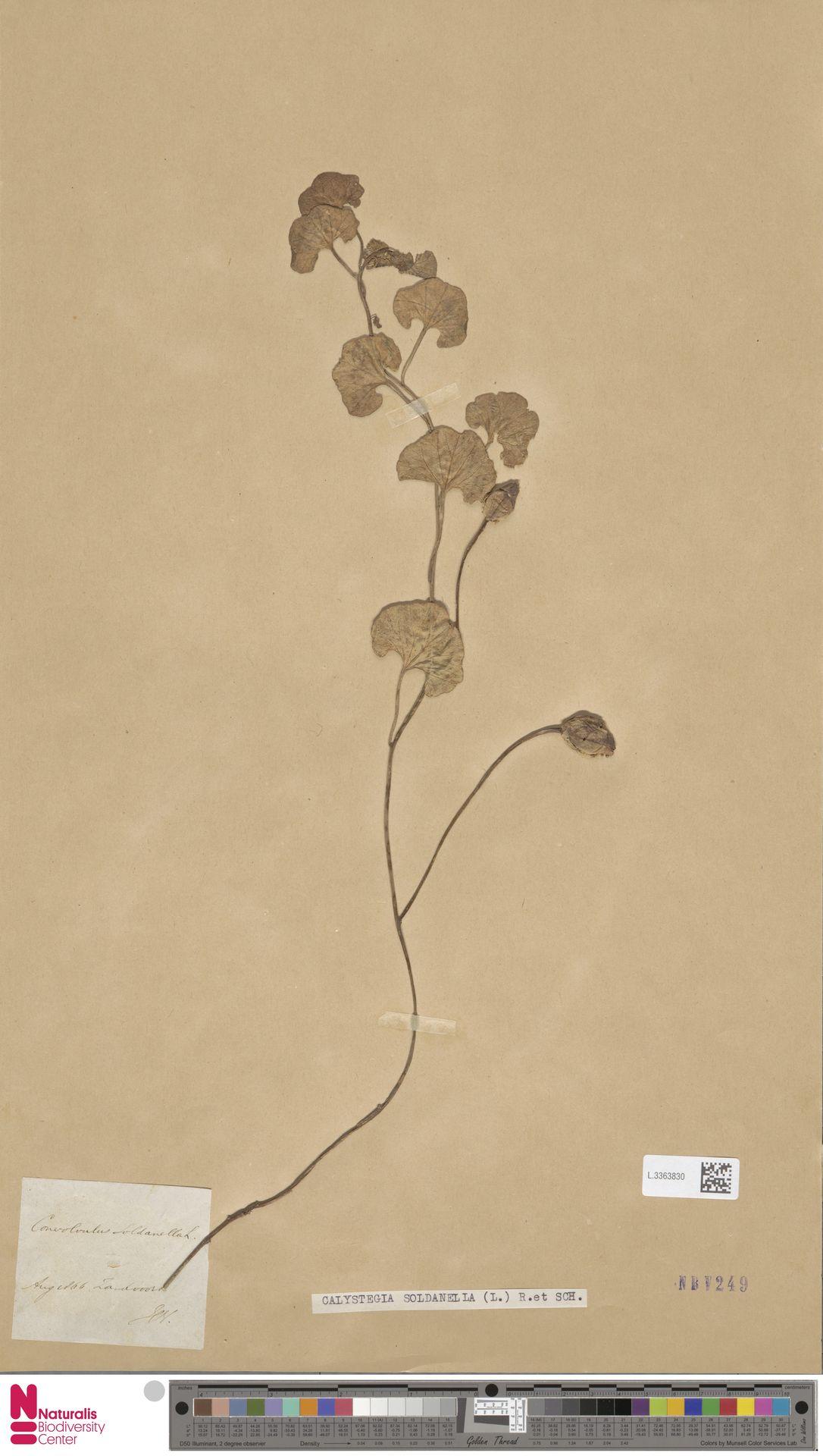 L.3363830 | Calystegia soldanella (L.) R.Br.