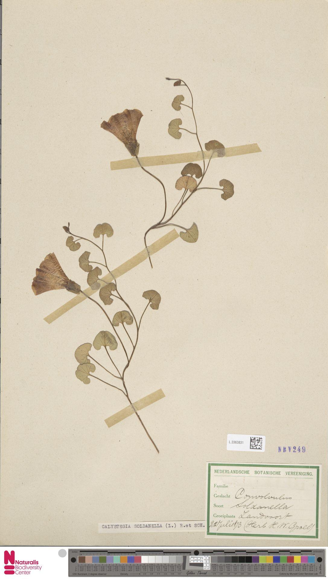 L.3363831 | Calystegia soldanella (L.) R.Br.