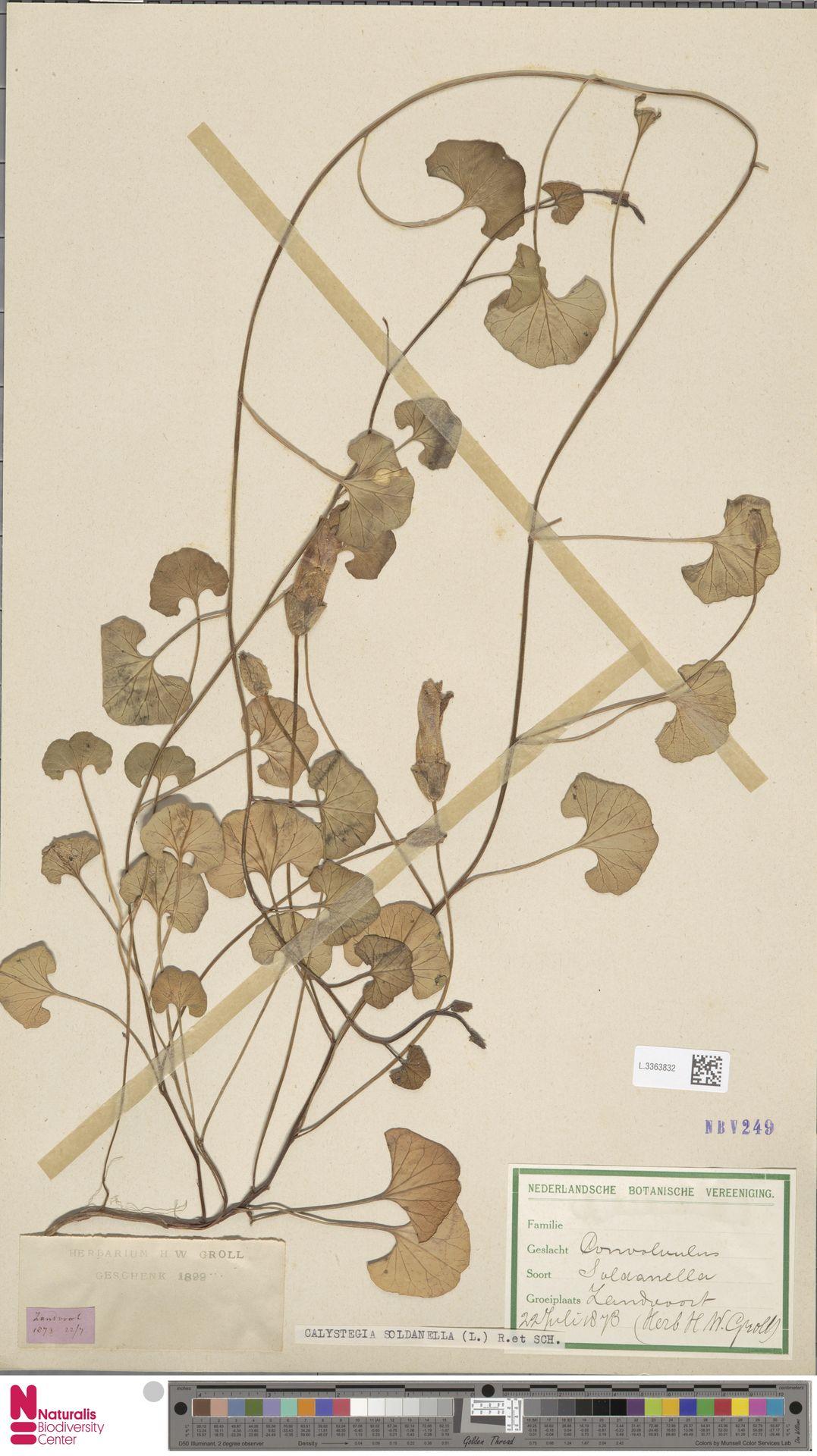 L.3363832 | Calystegia soldanella (L.) R.Br.