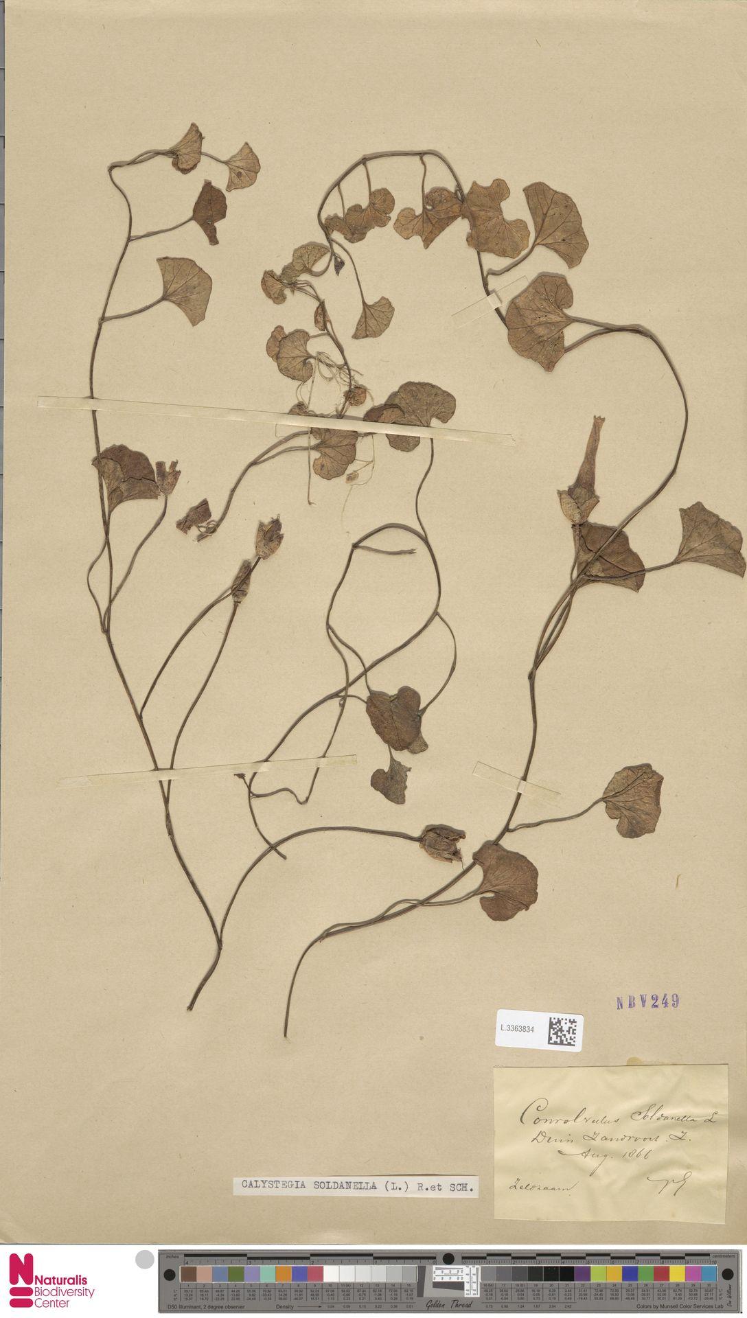 L.3363834 | Calystegia soldanella (L.) R.Br.