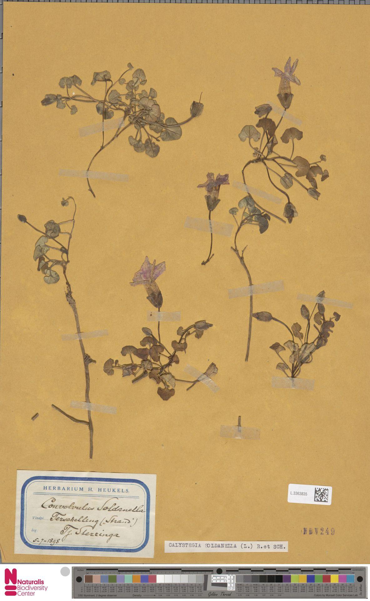 L.3363835 | Calystegia soldanella (L.) R.Br.