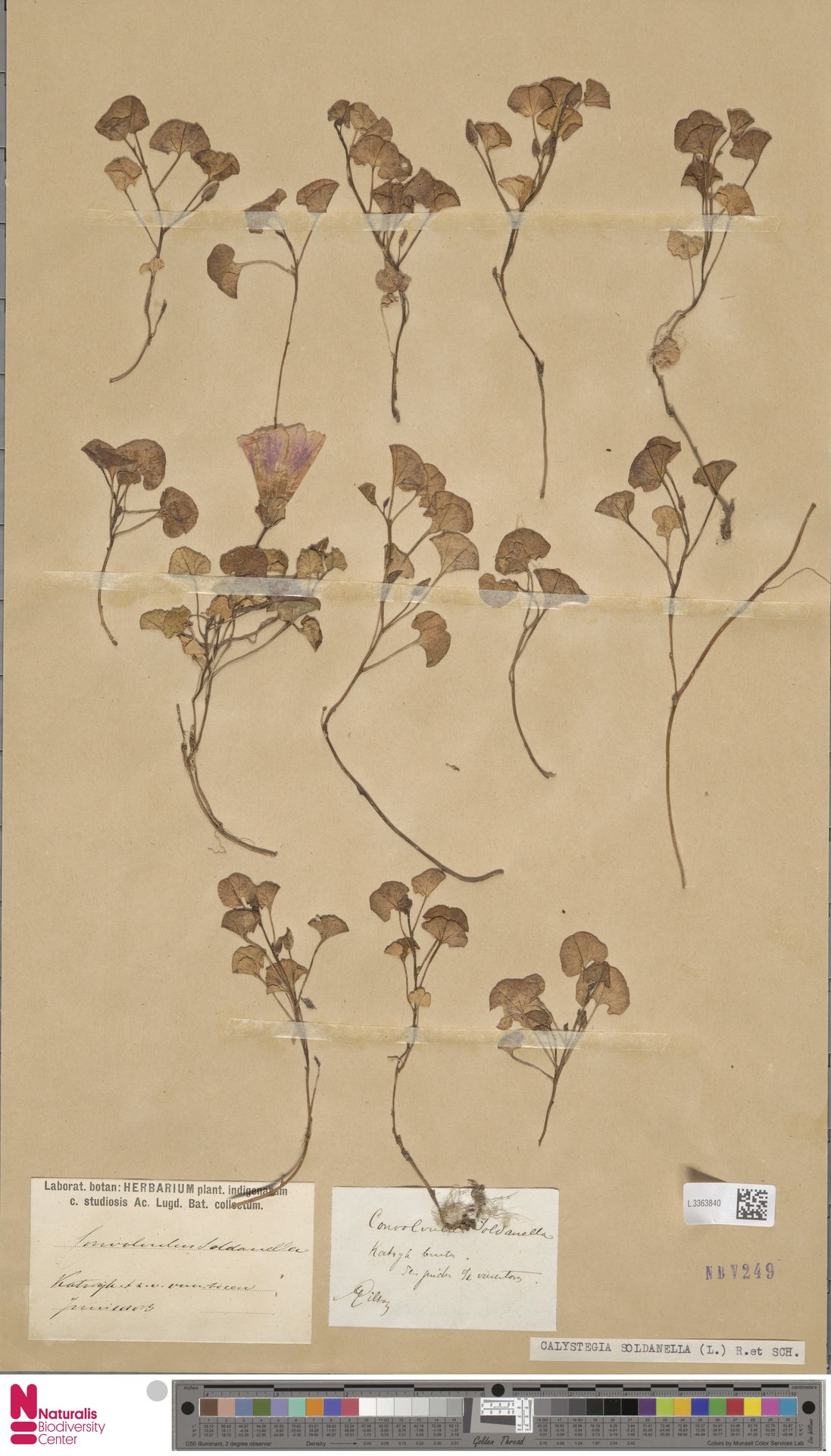 L.3363840   Calystegia soldanella (L.) R.Br.