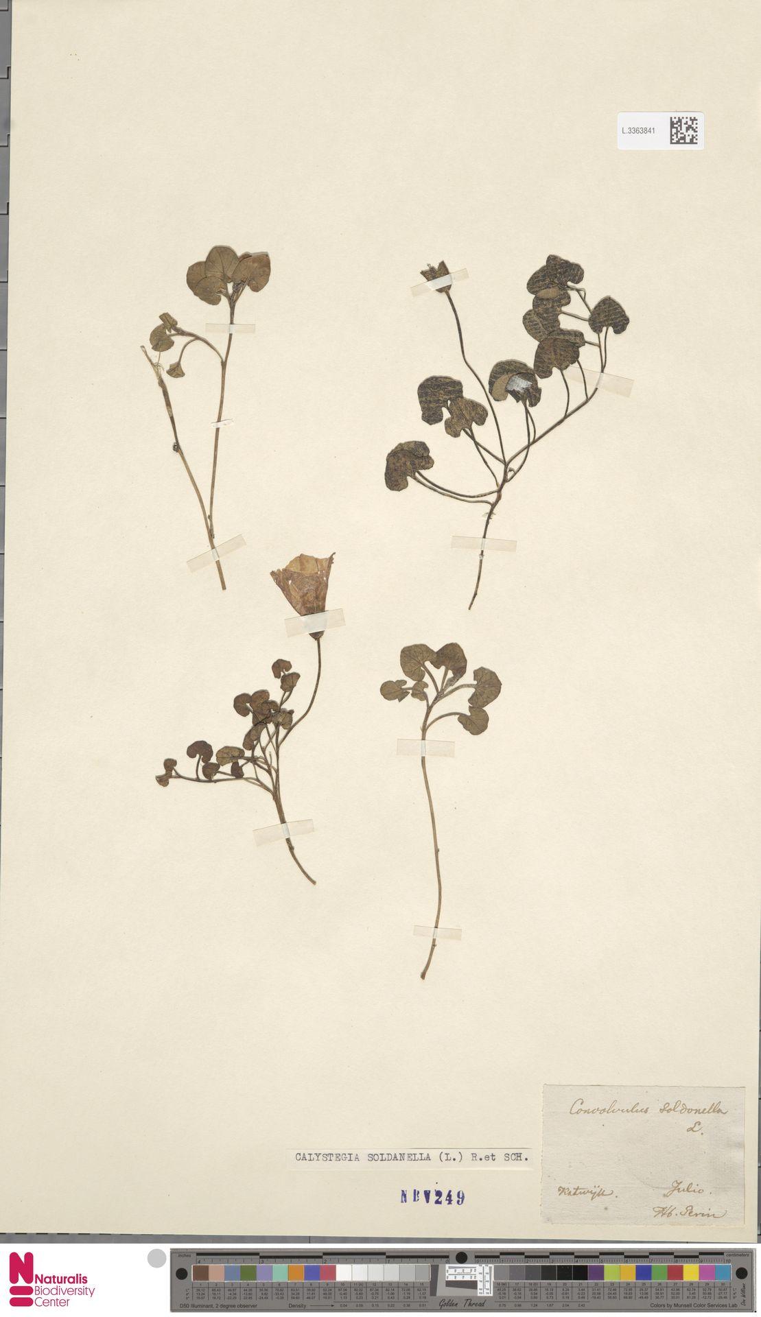 L.3363841 | Calystegia soldanella (L.) R.Br.