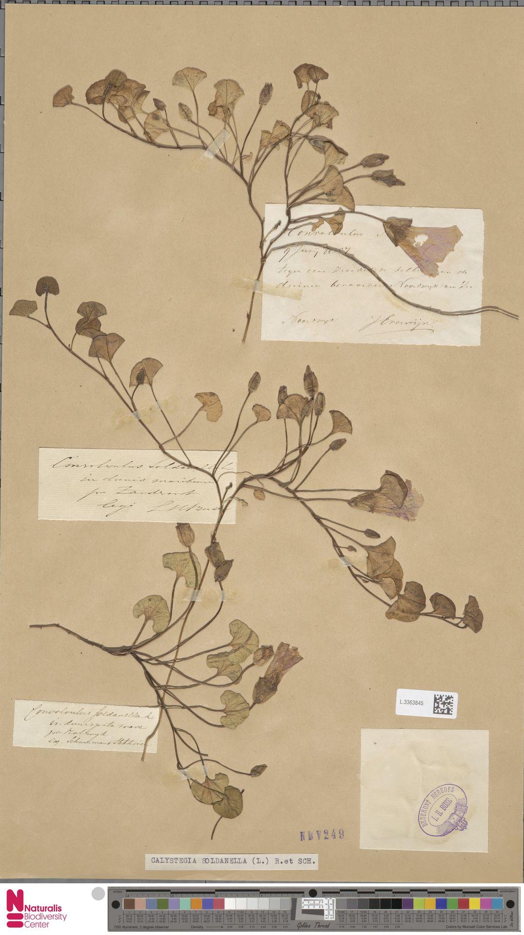 L.3363845 | Calystegia soldanella (L.) R.Br.