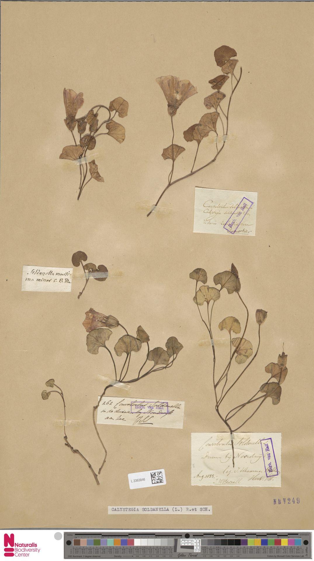 L.3363846 | Calystegia soldanella (L.) R.Br.
