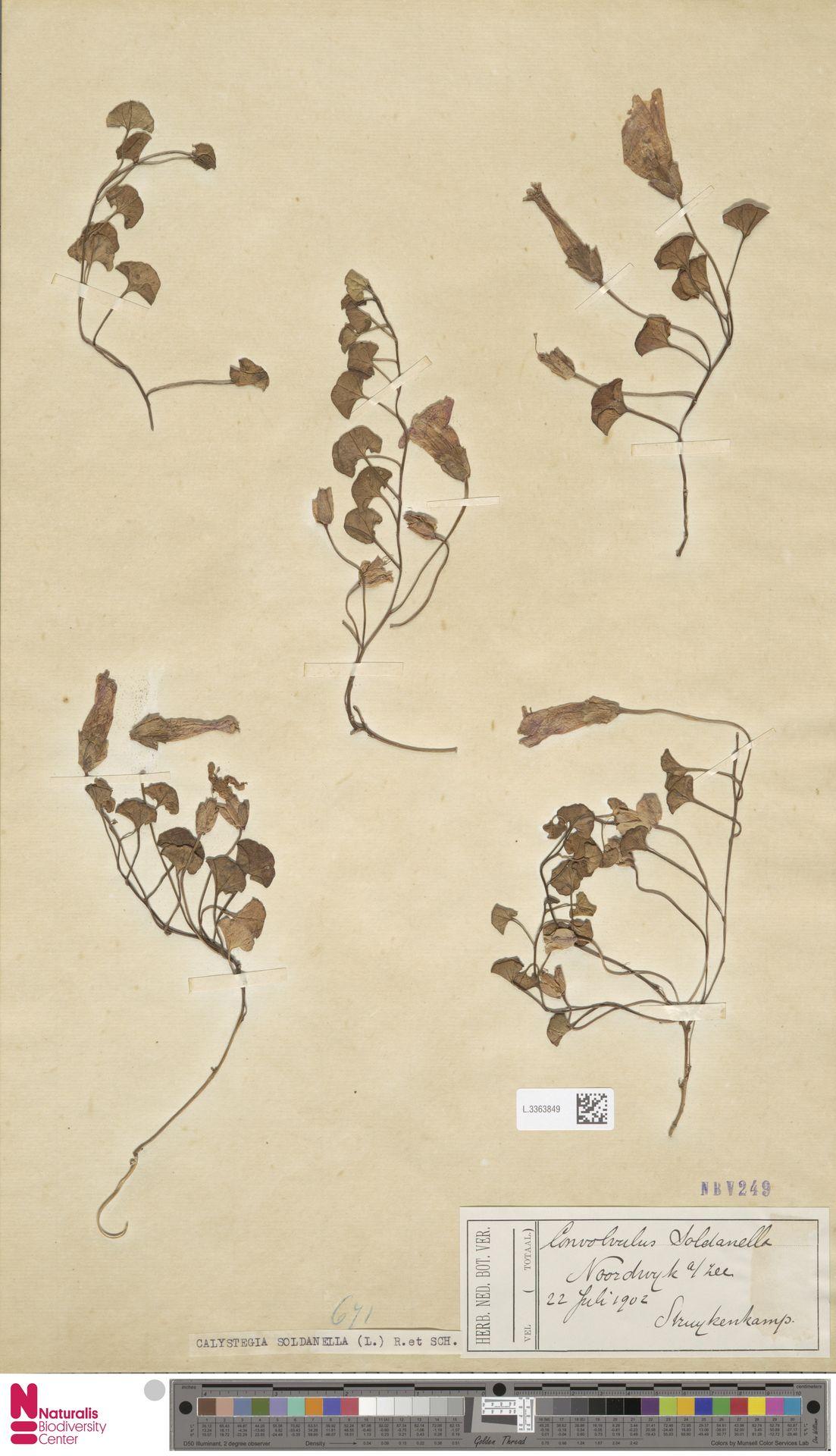 L.3363849 | Calystegia soldanella (L.) R.Br.