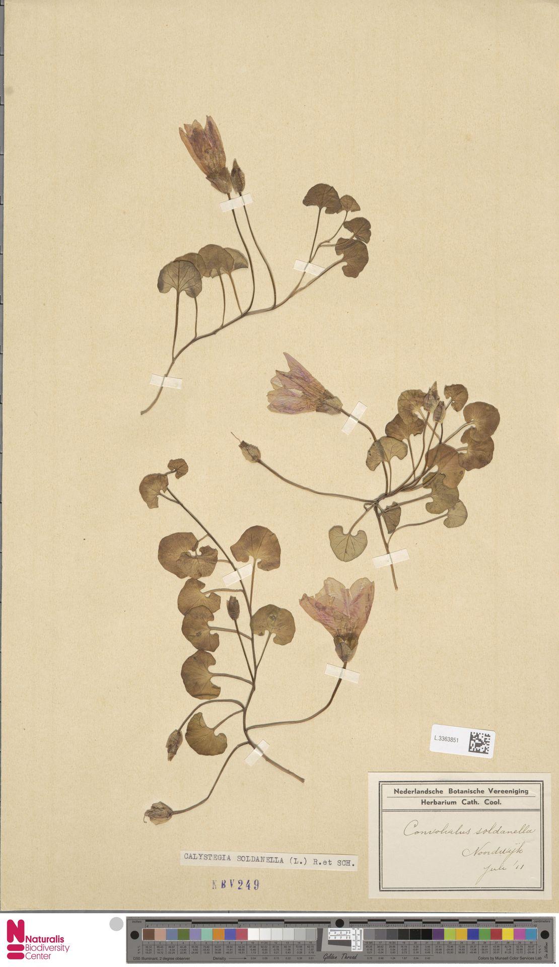 L.3363851   Calystegia soldanella (L.) R.Br.
