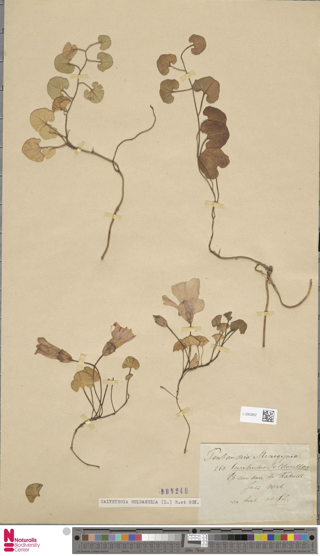 L.3363852 | Calystegia soldanella (L.) R.Br.