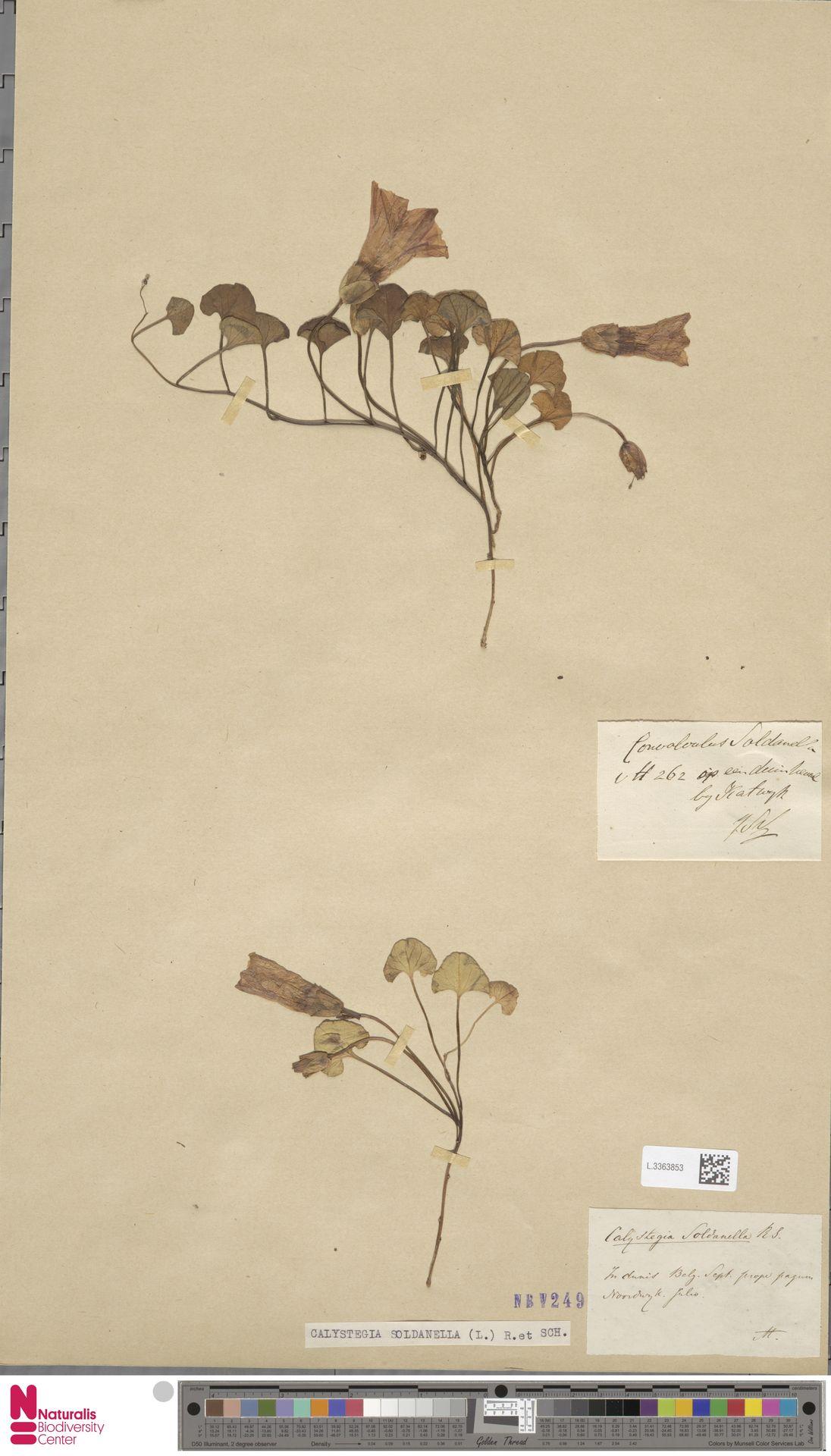 L.3363853 | Calystegia soldanella (L.) R.Br.