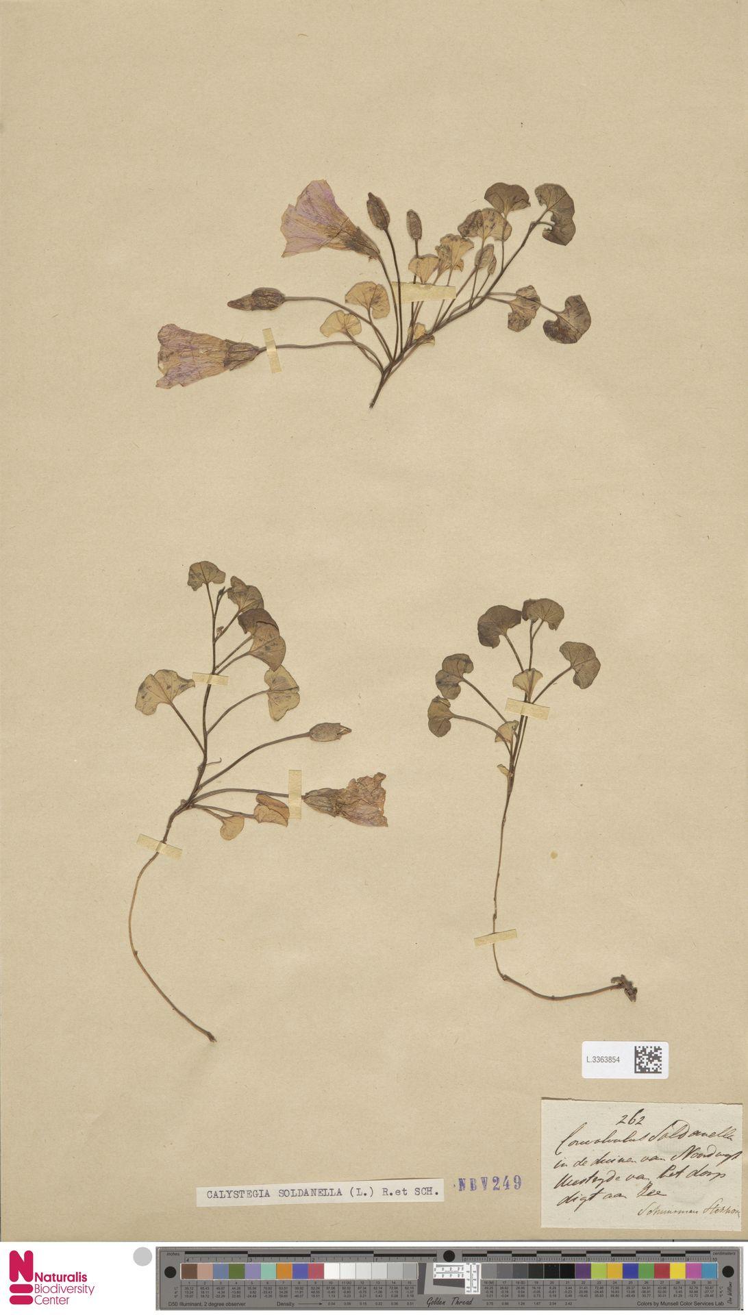 L.3363854   Calystegia soldanella (L.) R.Br.