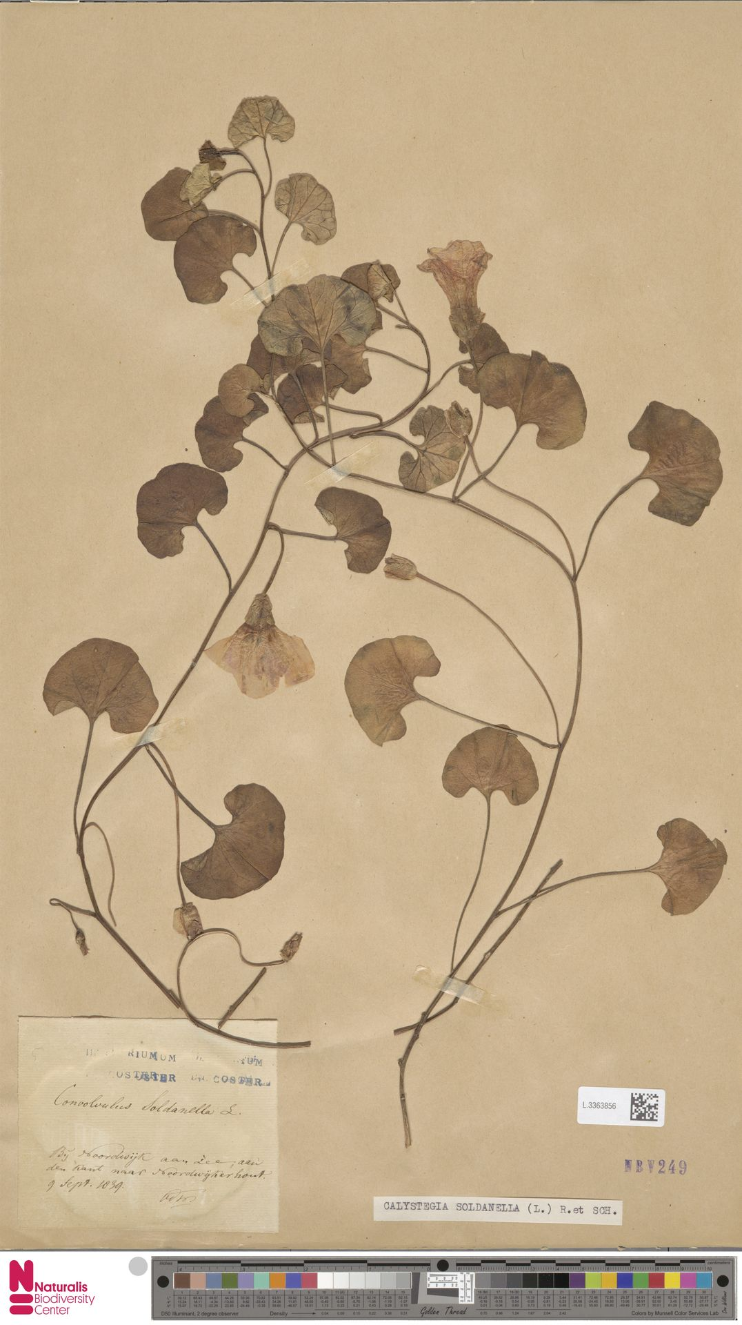 L.3363856   Calystegia soldanella (L.) R.Br.
