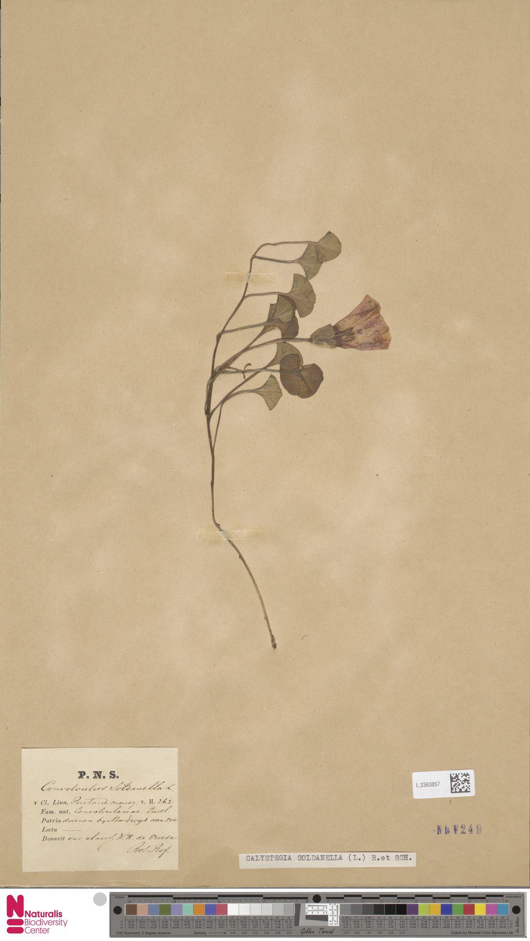L.3363857 | Calystegia soldanella (L.) R.Br.