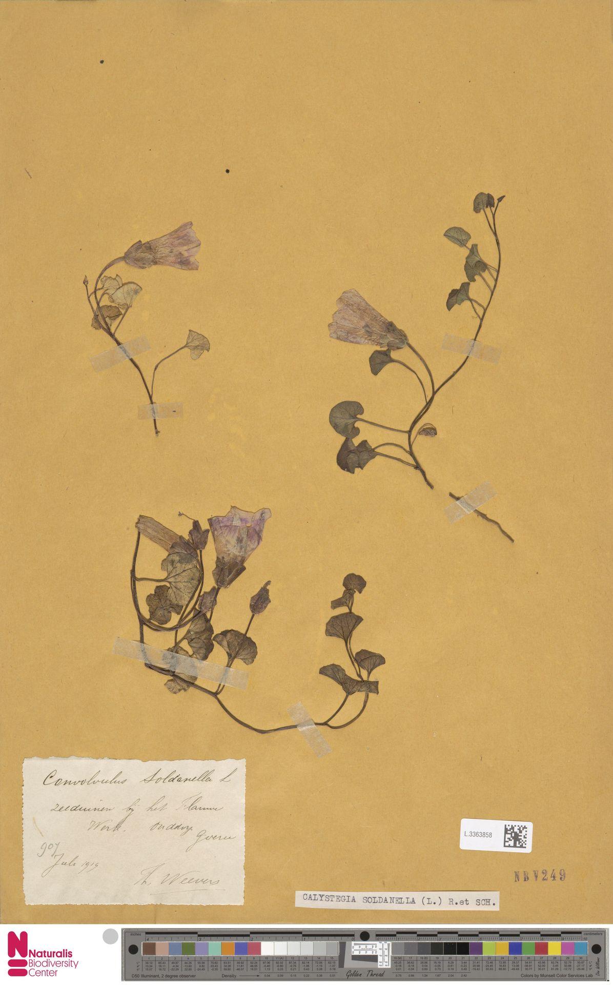 L.3363858   Calystegia soldanella (L.) R.Br.