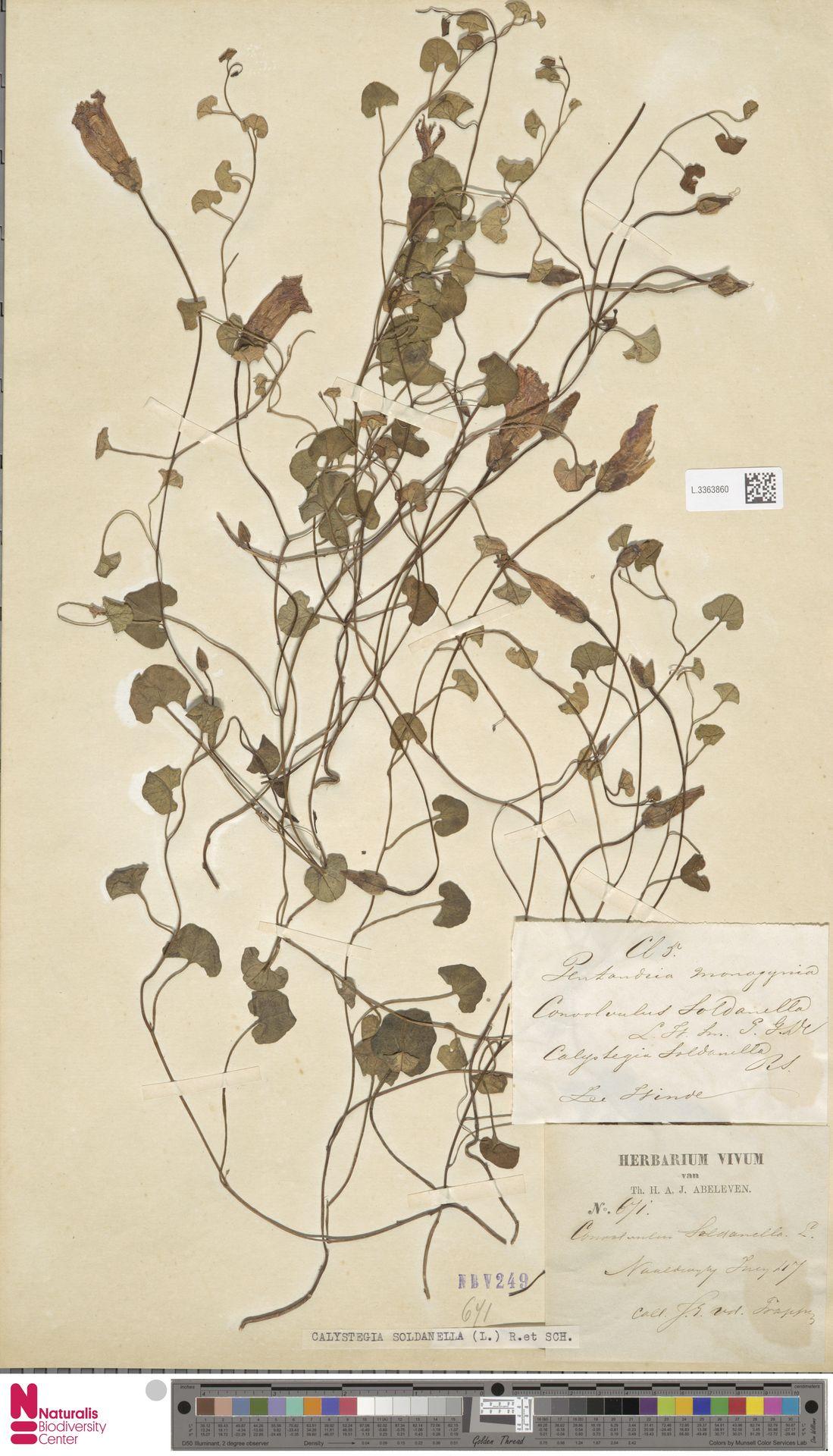 L.3363860 | Calystegia soldanella (L.) R.Br.