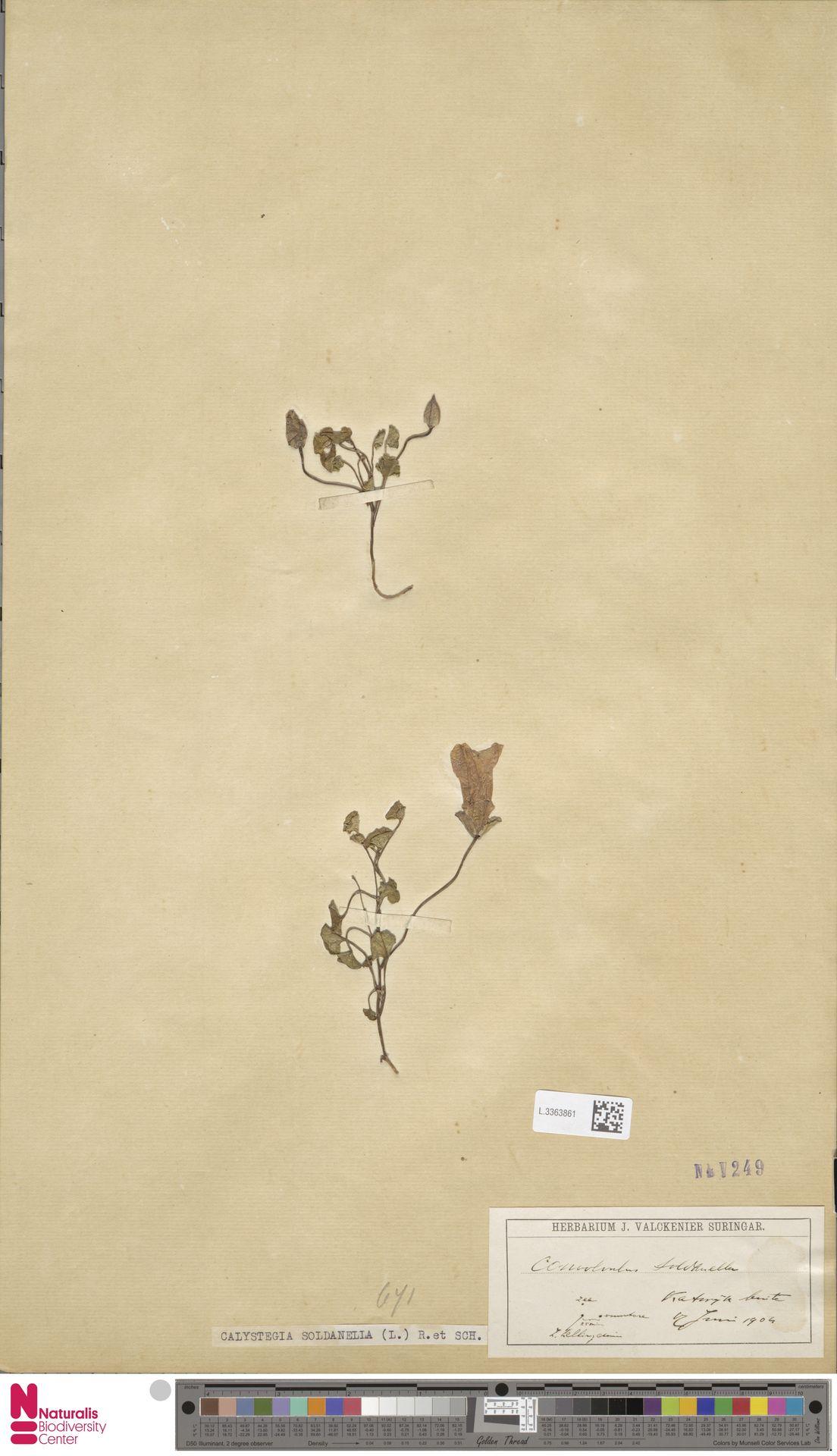 L.3363861 | Calystegia soldanella (L.) R.Br.