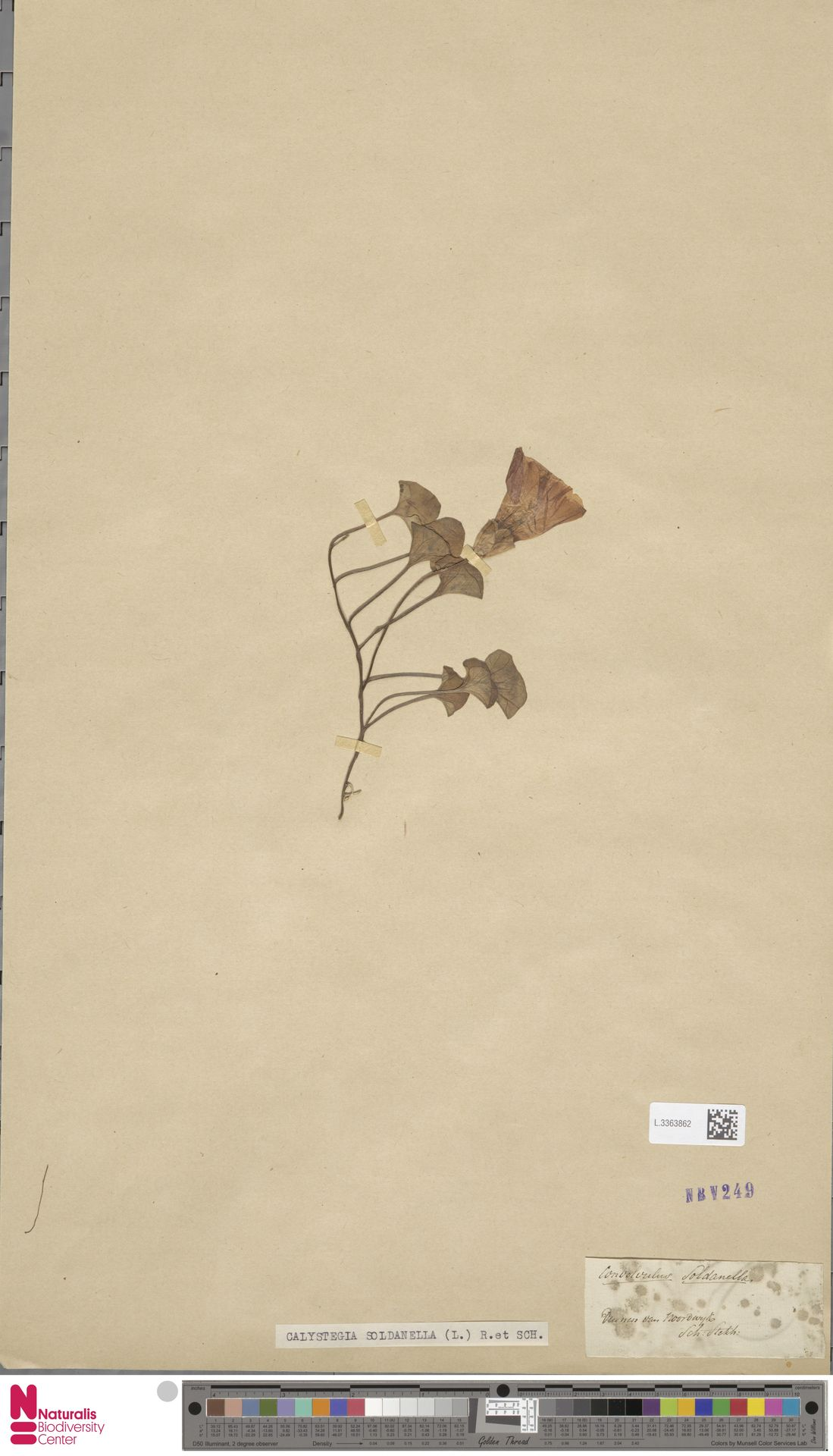 L.3363862 | Calystegia soldanella (L.) R.Br.
