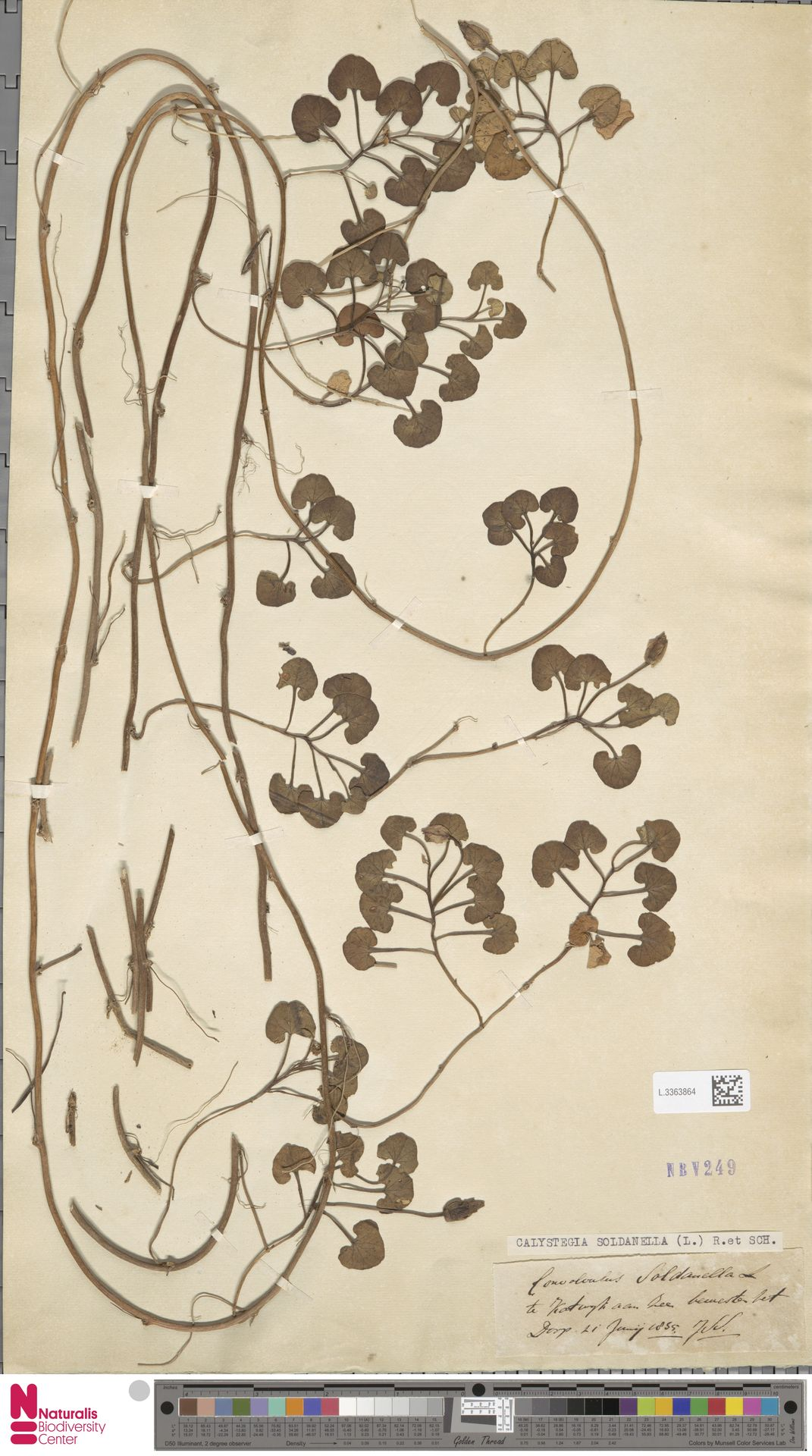 L.3363864 | Calystegia soldanella (L.) R.Br.