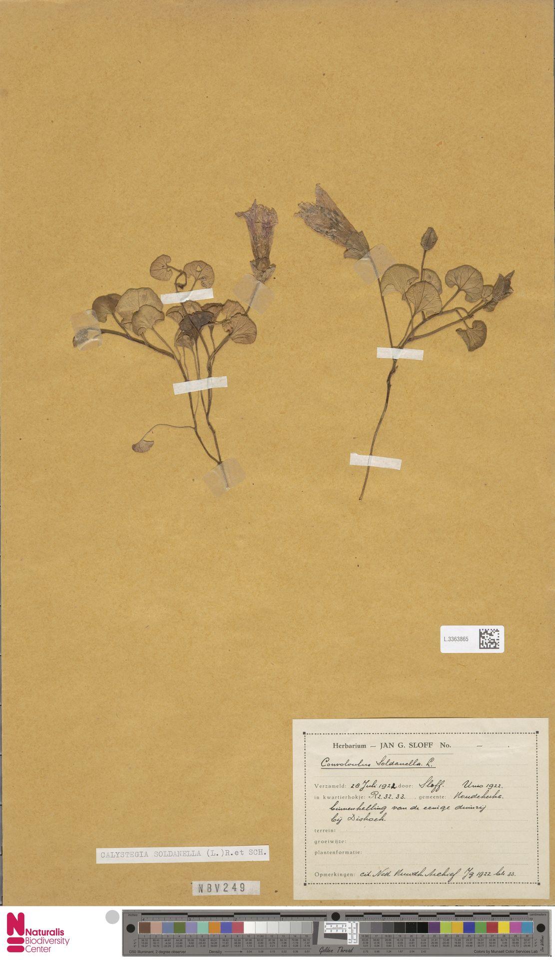 L.3363865 | Calystegia soldanella (L.) R.Br.