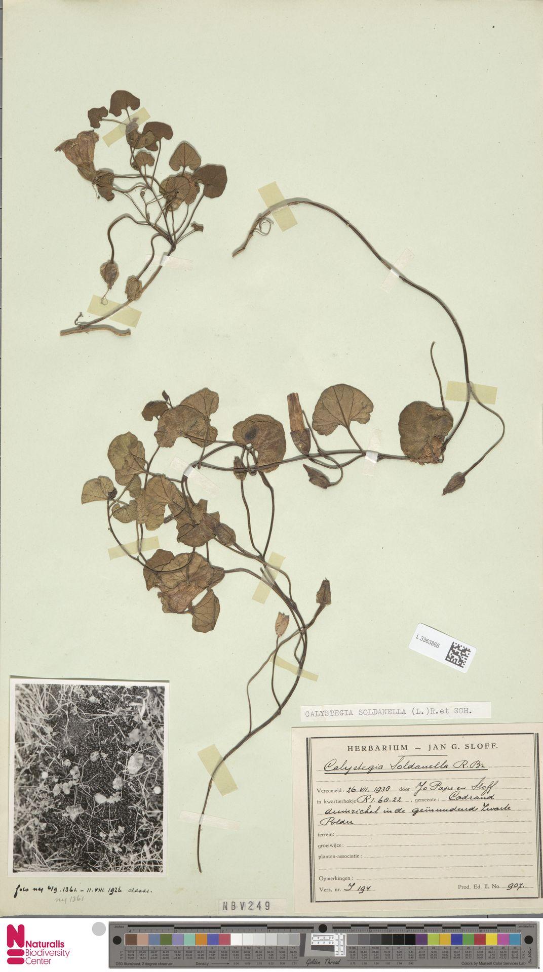 L.3363866 | Calystegia soldanella (L.) R.Br.