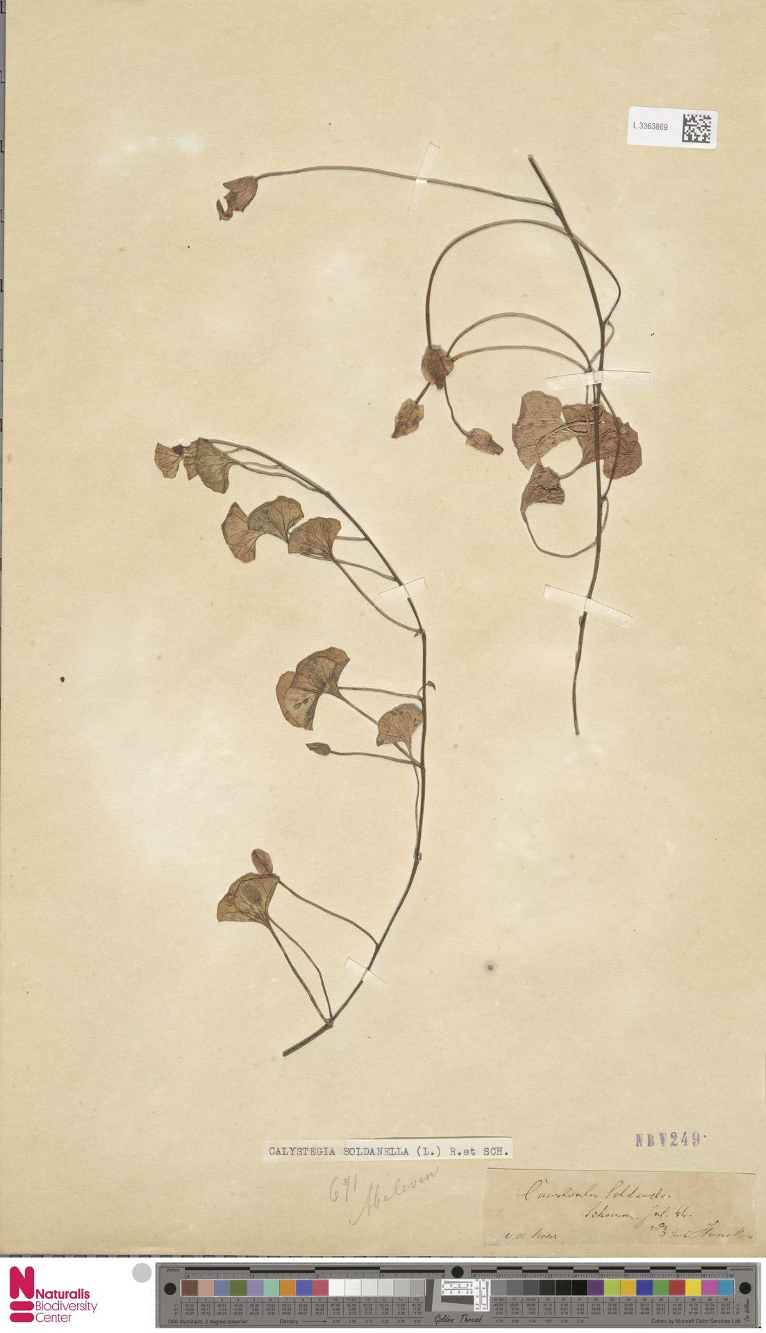 L.3363869 | Calystegia soldanella (L.) R.Br.